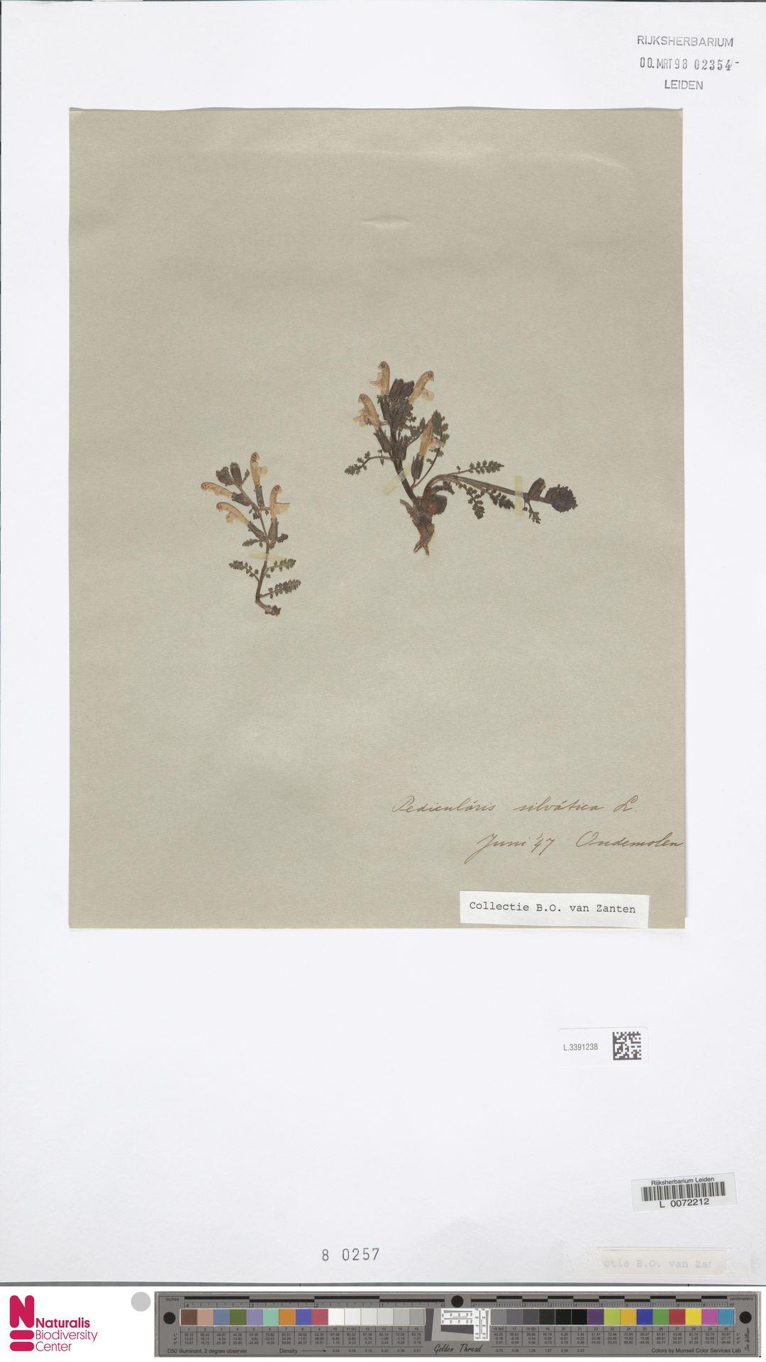 L.3391238 | Pedicularis sylvatica L.