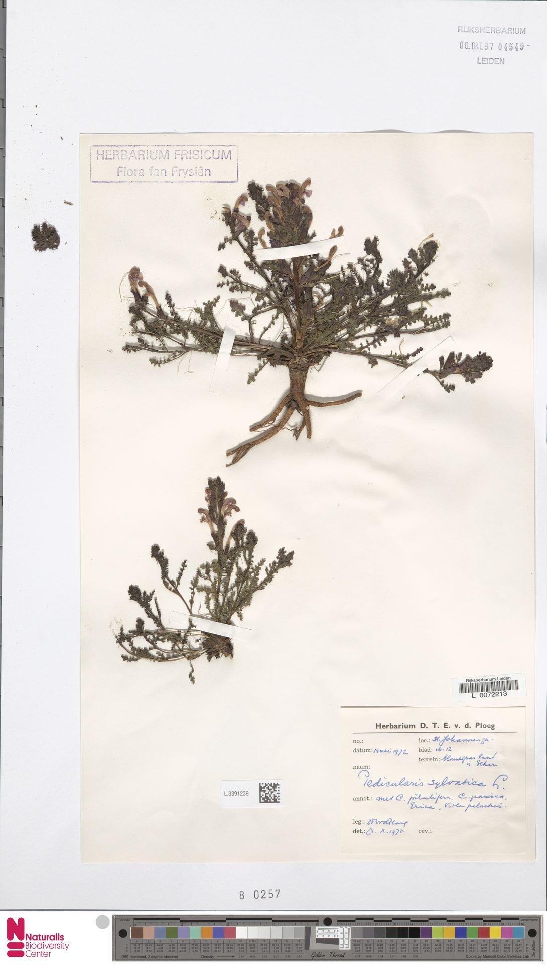 L.3391239 | Pedicularis sylvatica L.
