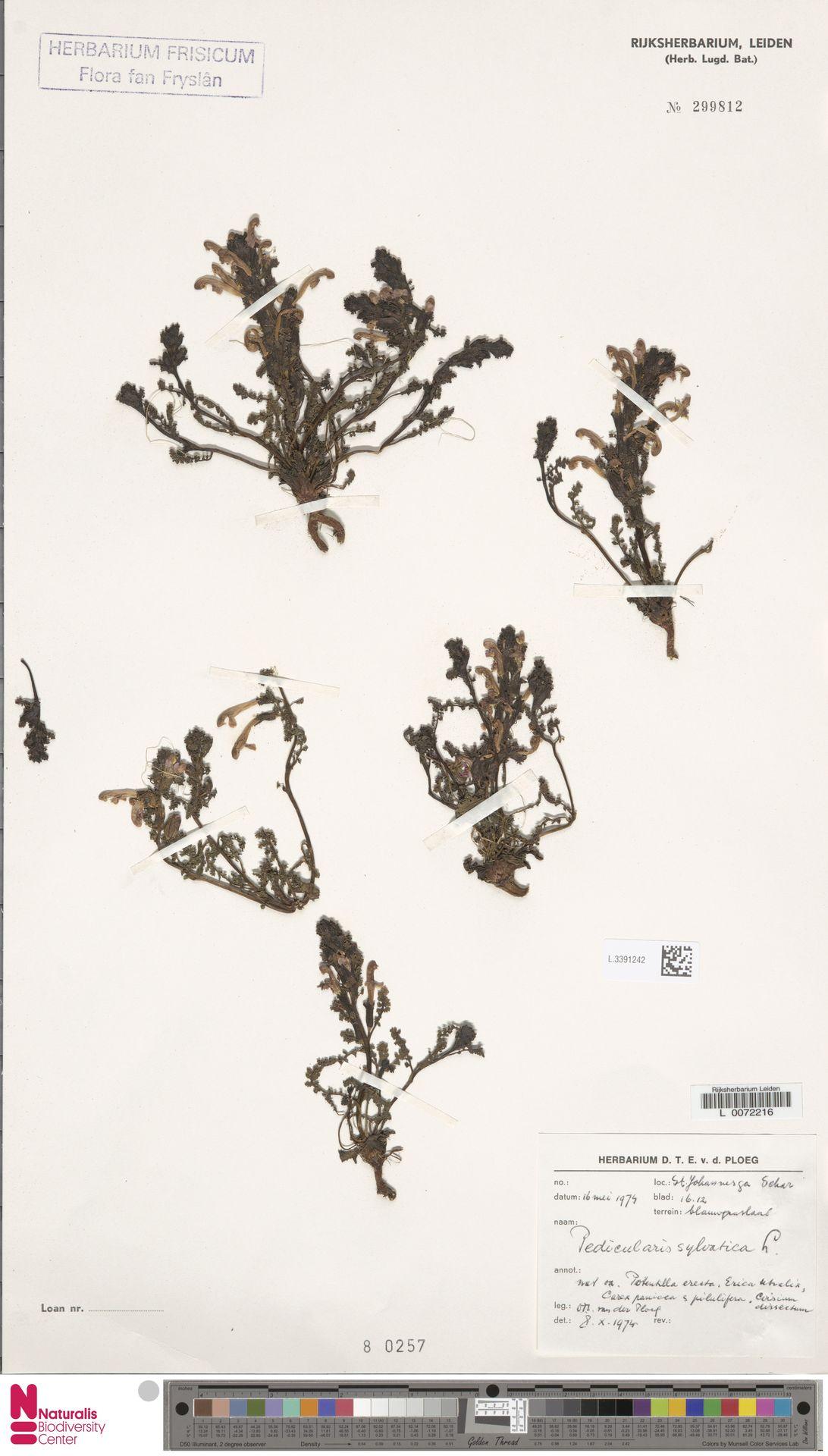 L.3391242   Pedicularis sylvatica L.