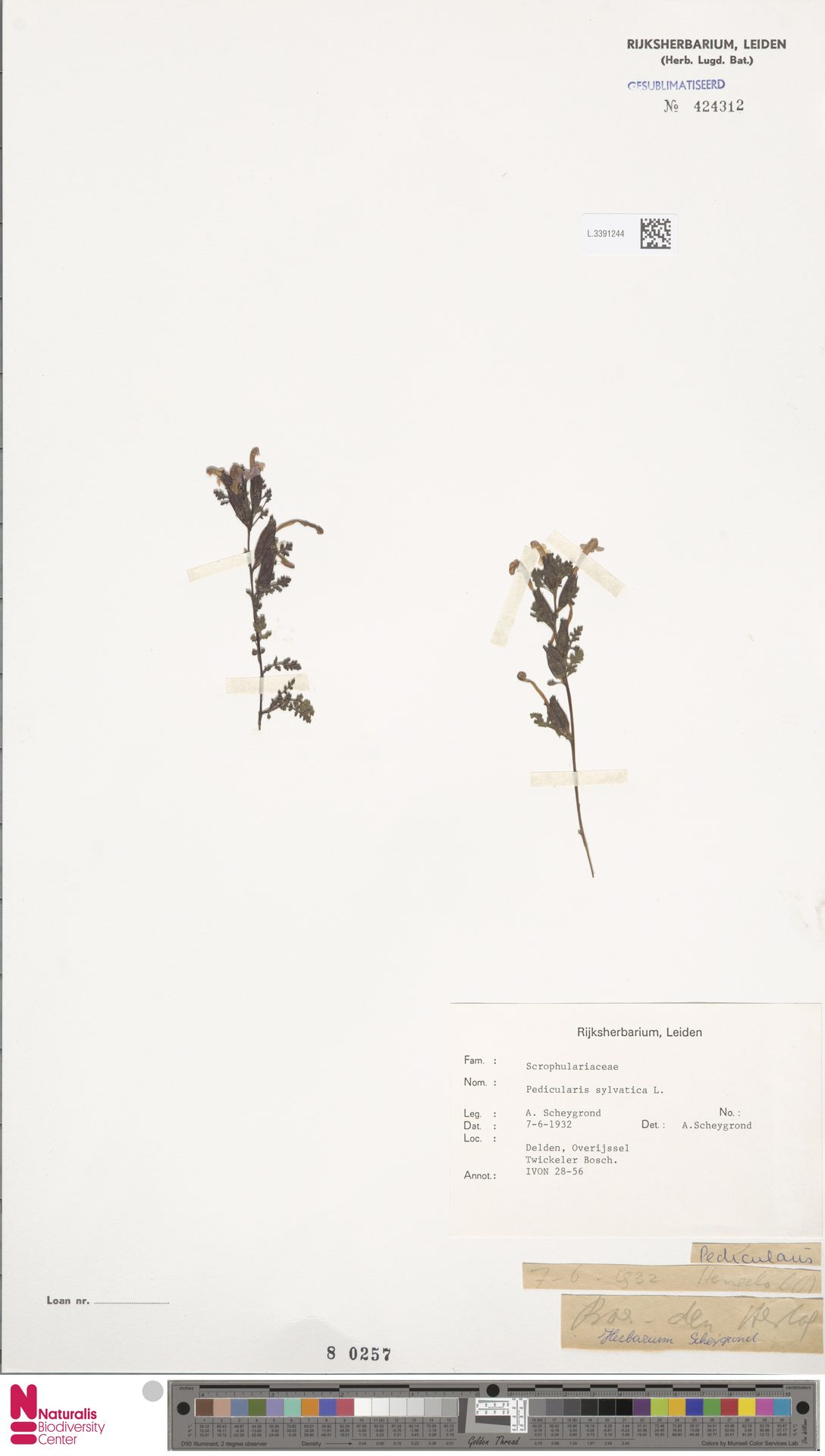 L.3391244 | Pedicularis sylvatica L.