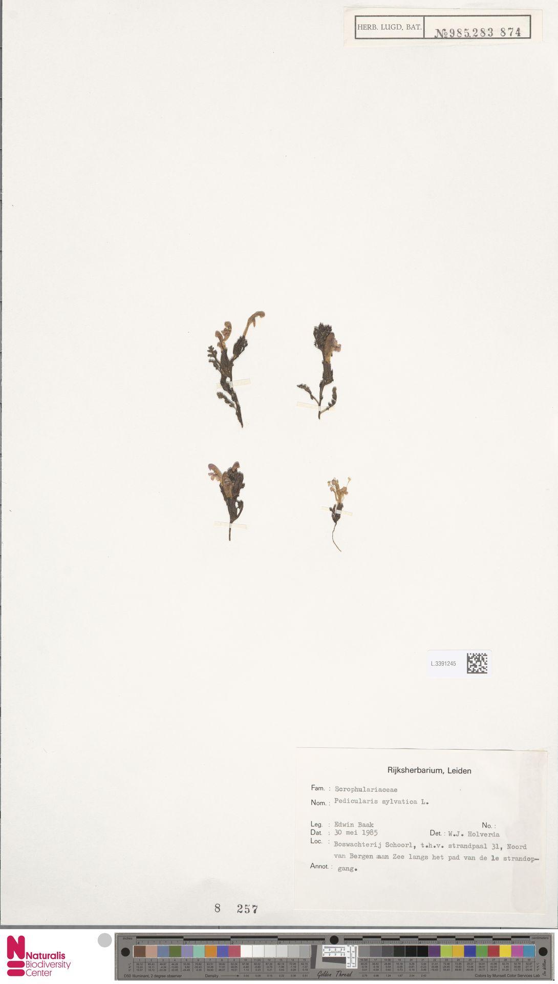L.3391245   Pedicularis sylvatica L.