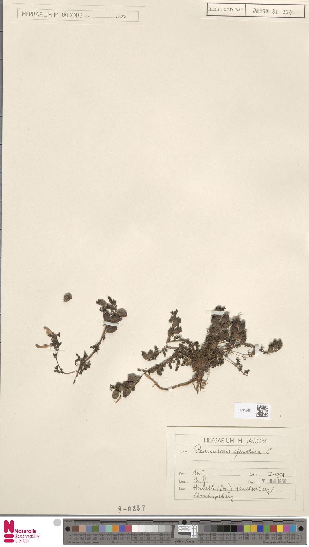 L.3391246 | Pedicularis sylvatica L.