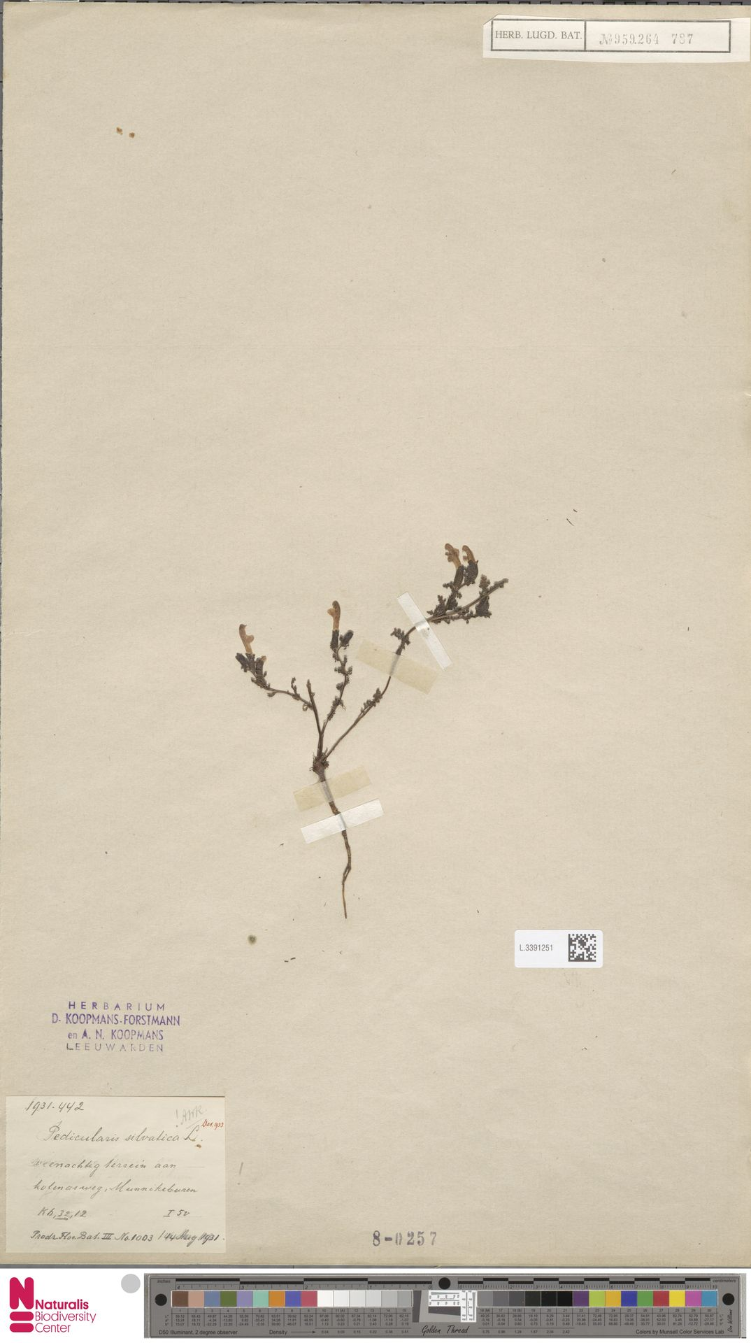 L.3391251 | Pedicularis sylvatica L.