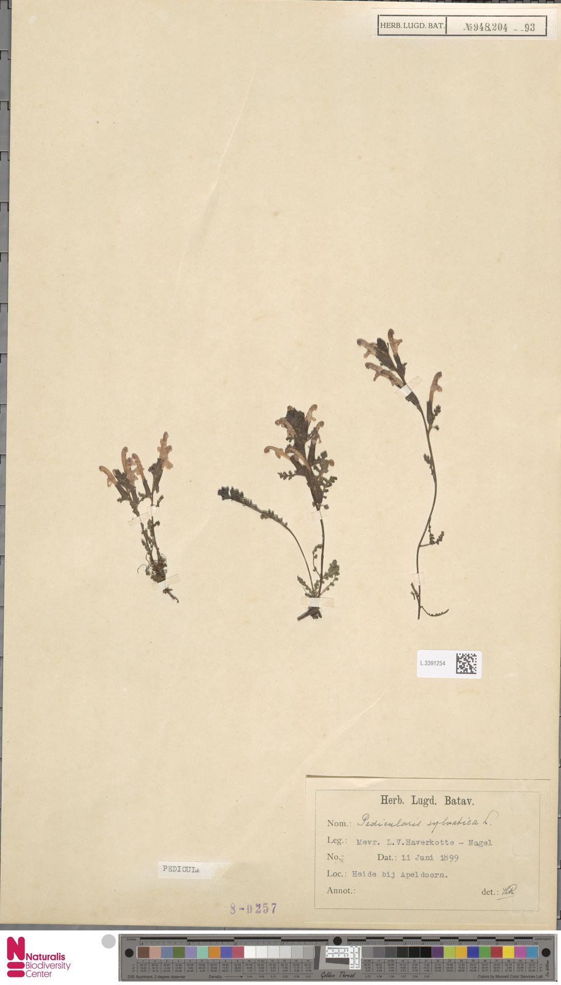 L.3391254 | Pedicularis sylvatica L.
