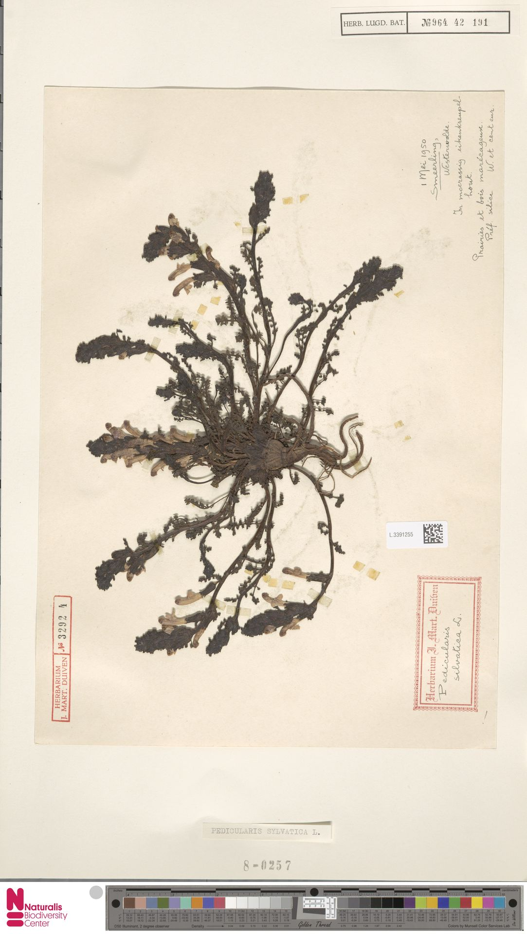 L.3391255 | Pedicularis sylvatica L.