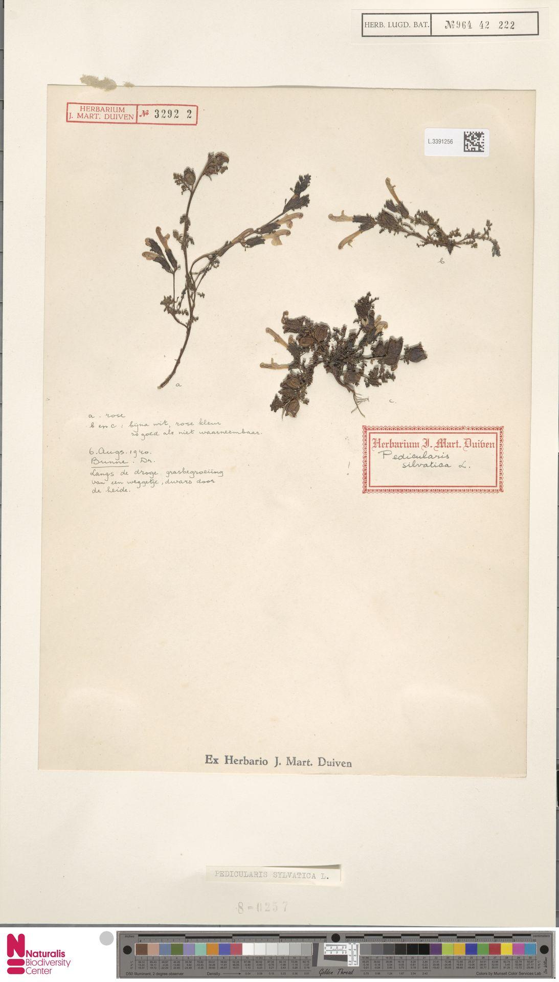 L.3391256 | Pedicularis sylvatica L.