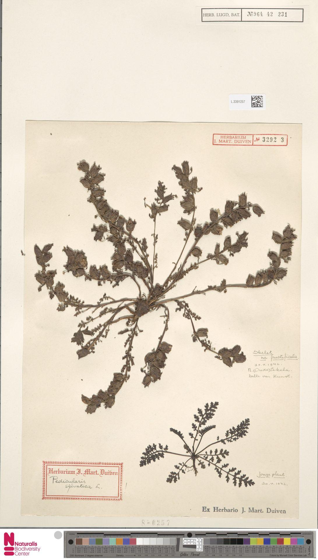 L.3391257 | Pedicularis sylvatica L.
