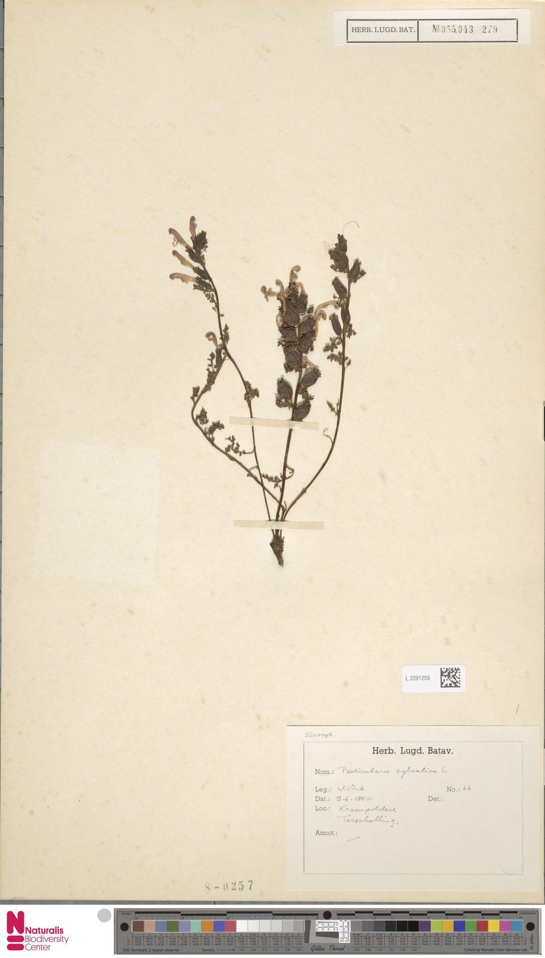L.3391259 | Pedicularis sylvatica L.