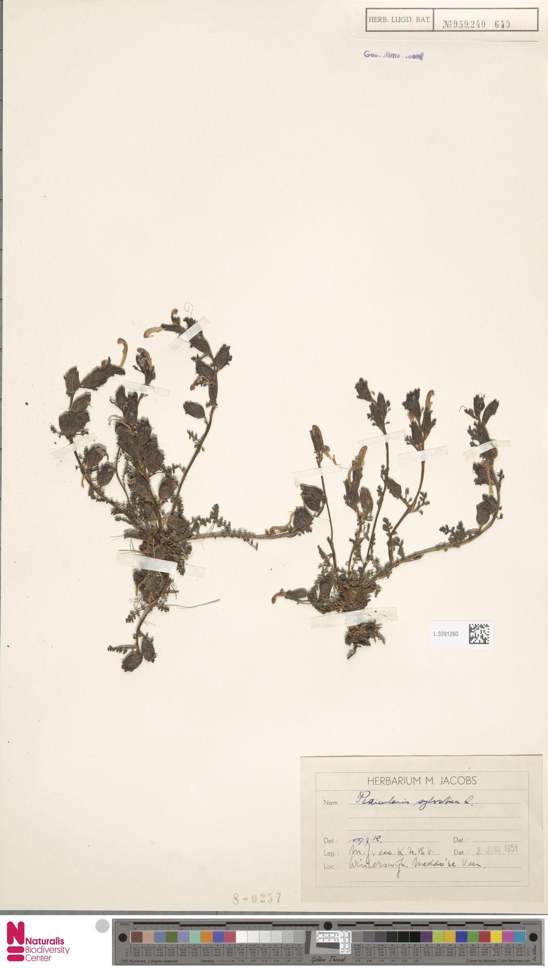 L.3391260 | Pedicularis sylvatica L.