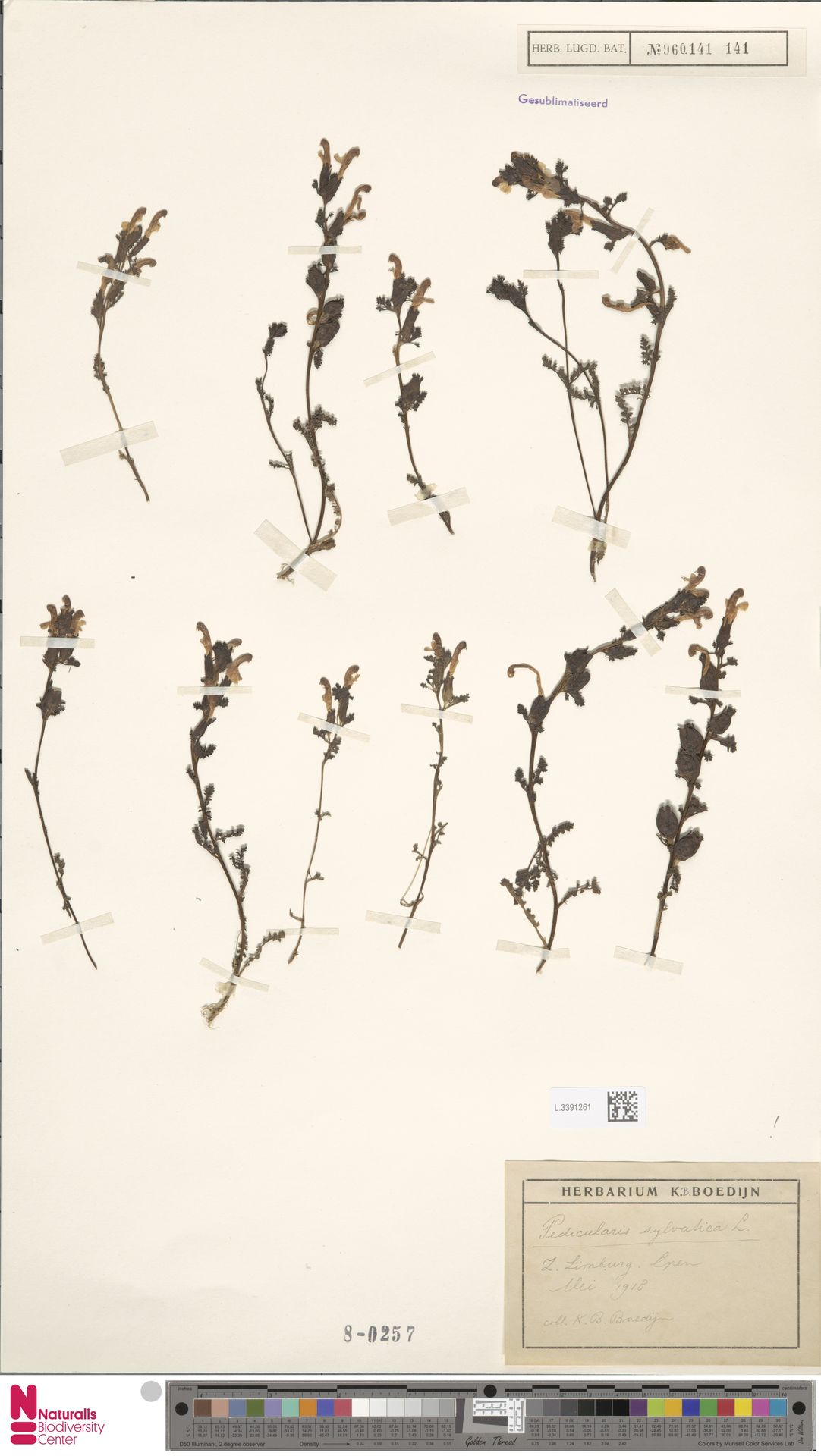 L.3391261 | Pedicularis sylvatica L.
