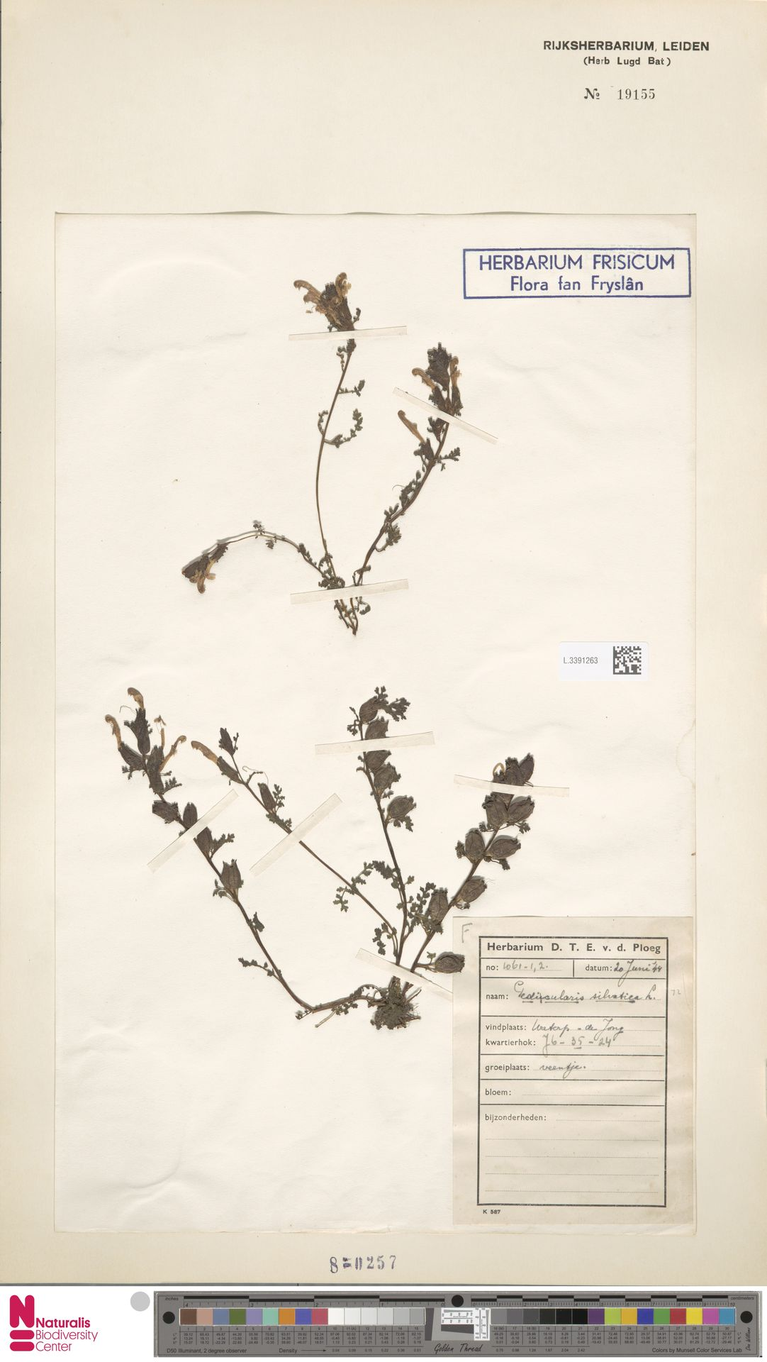 L.3391263 | Pedicularis sylvatica L.