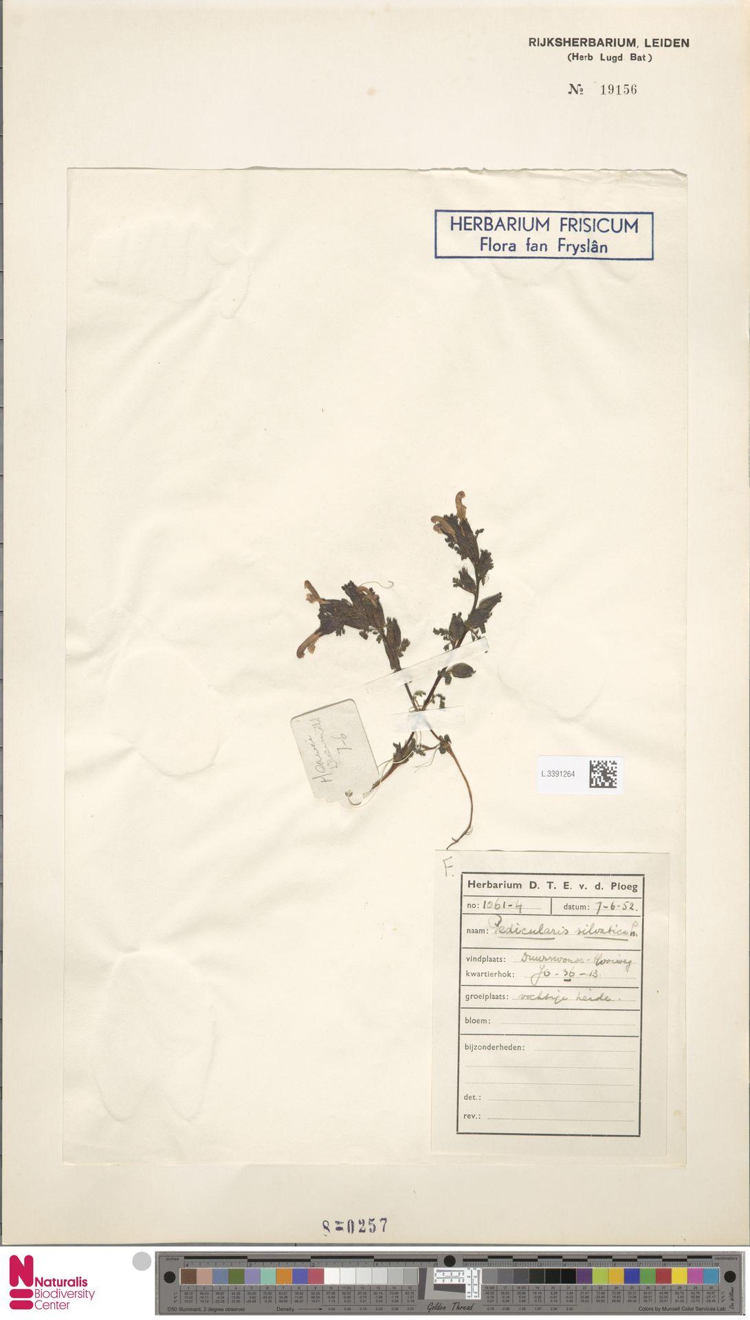 L.3391264 | Pedicularis sylvatica L.