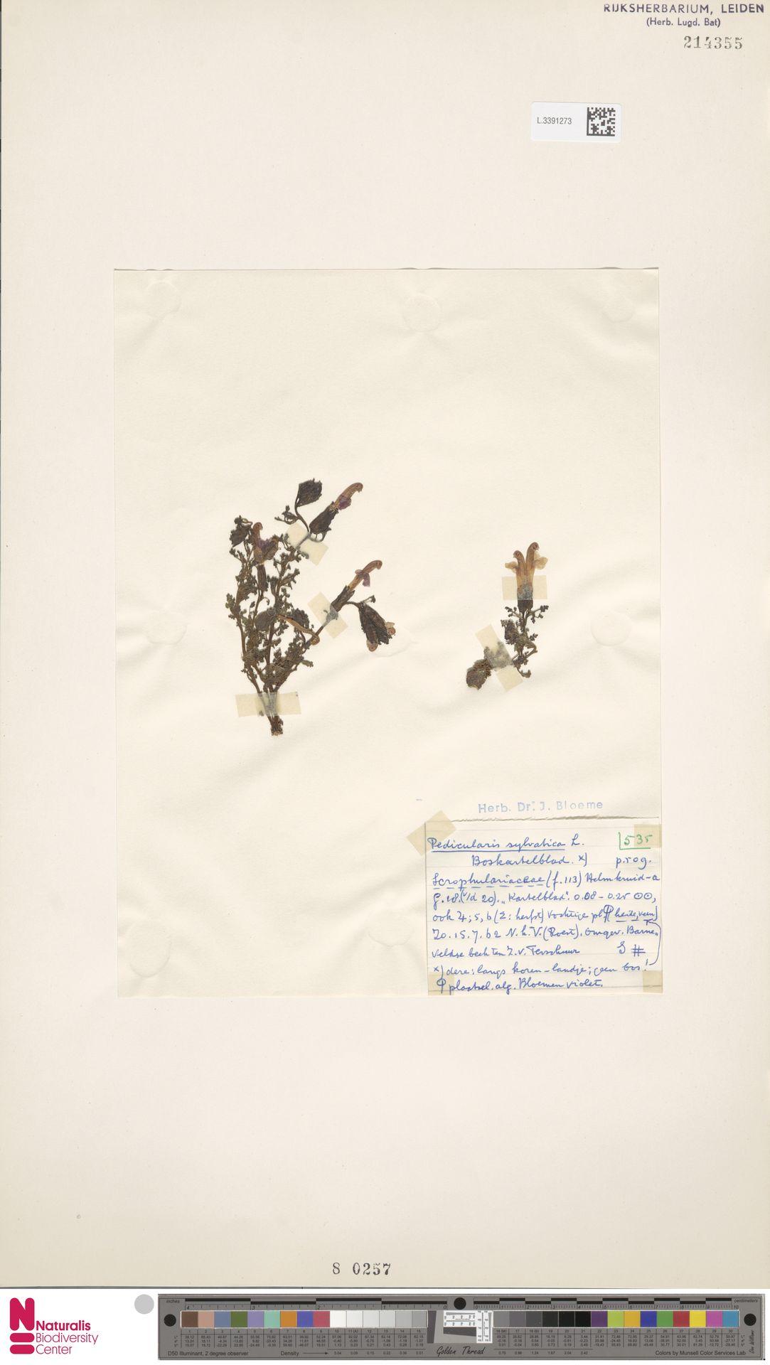 L.3391273 | Pedicularis sylvatica L.