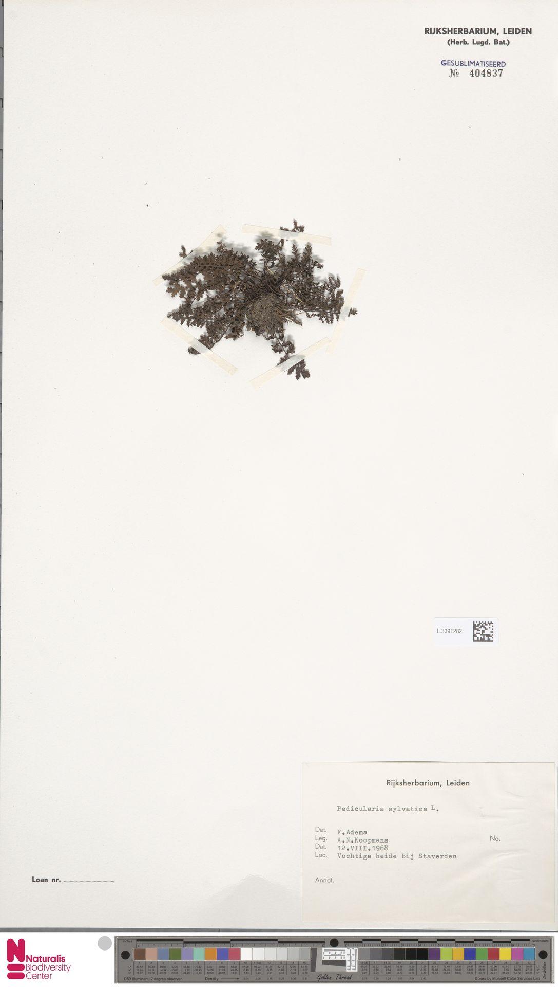 L.3391282 | Pedicularis sylvatica L.