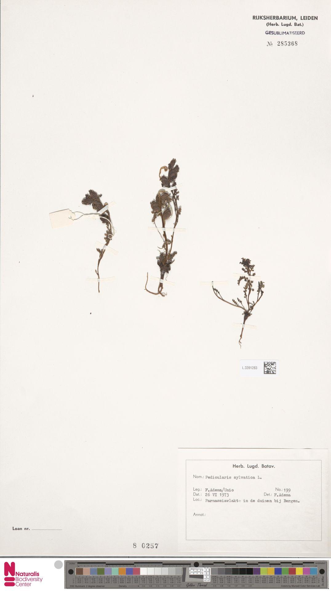 L.3391283   Pedicularis sylvatica L.