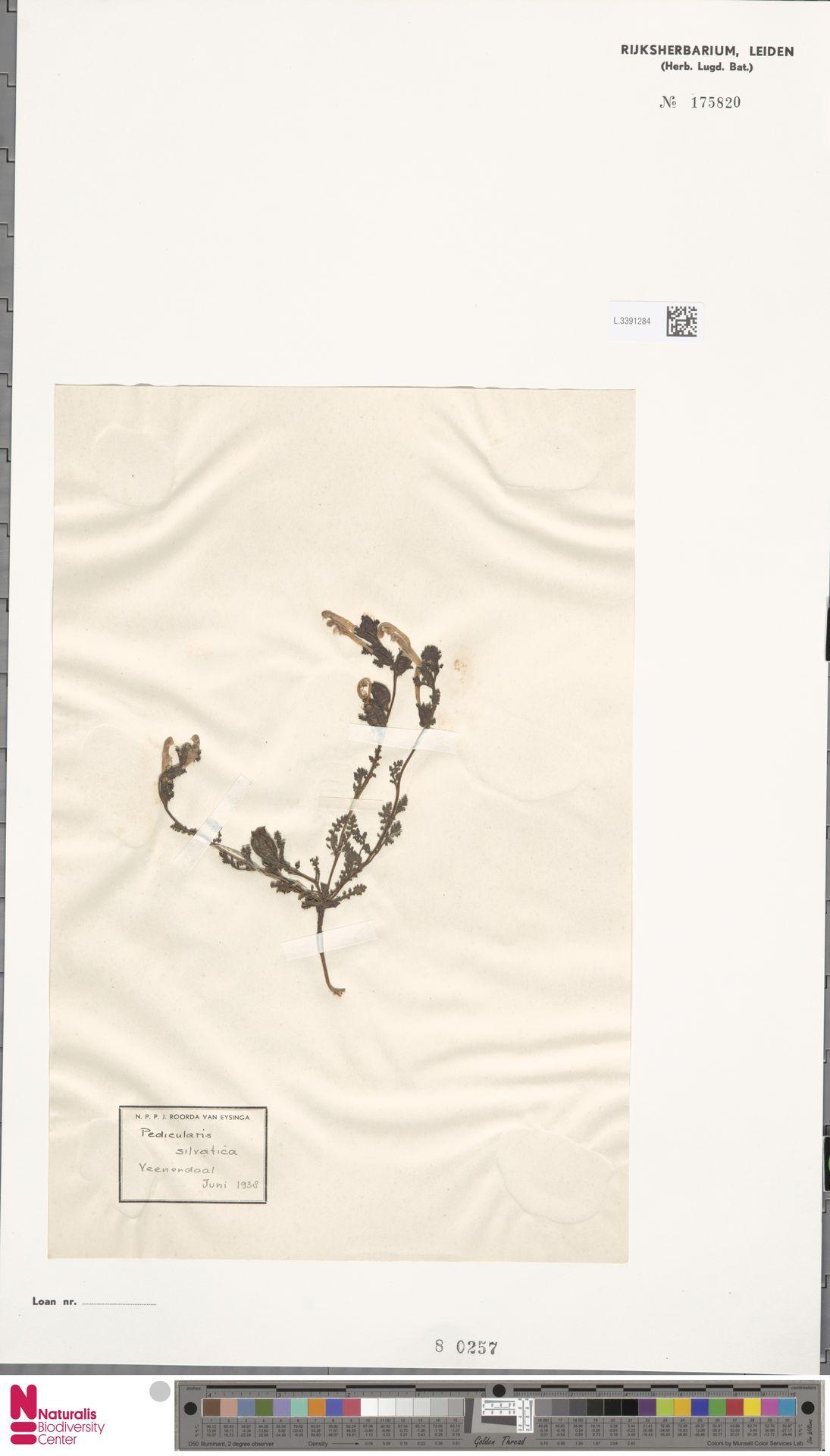 L.3391284 | Pedicularis sylvatica L.
