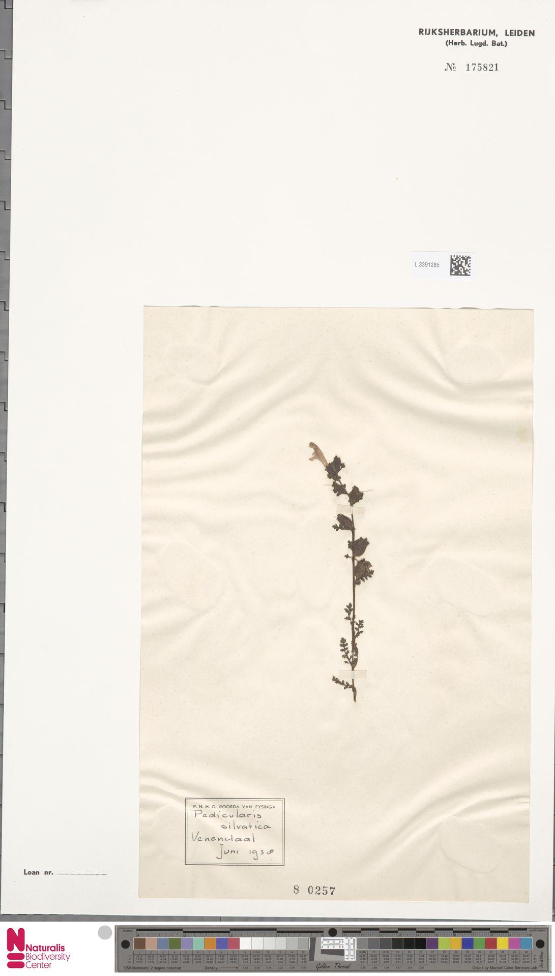 L.3391285 | Pedicularis sylvatica L.