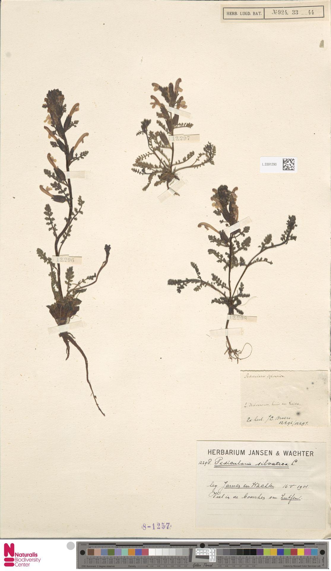 L.3391290 | Pedicularis sylvatica L.