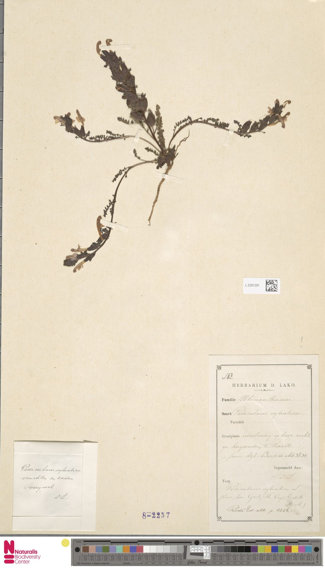 L.3391291 | Pedicularis sylvatica L.