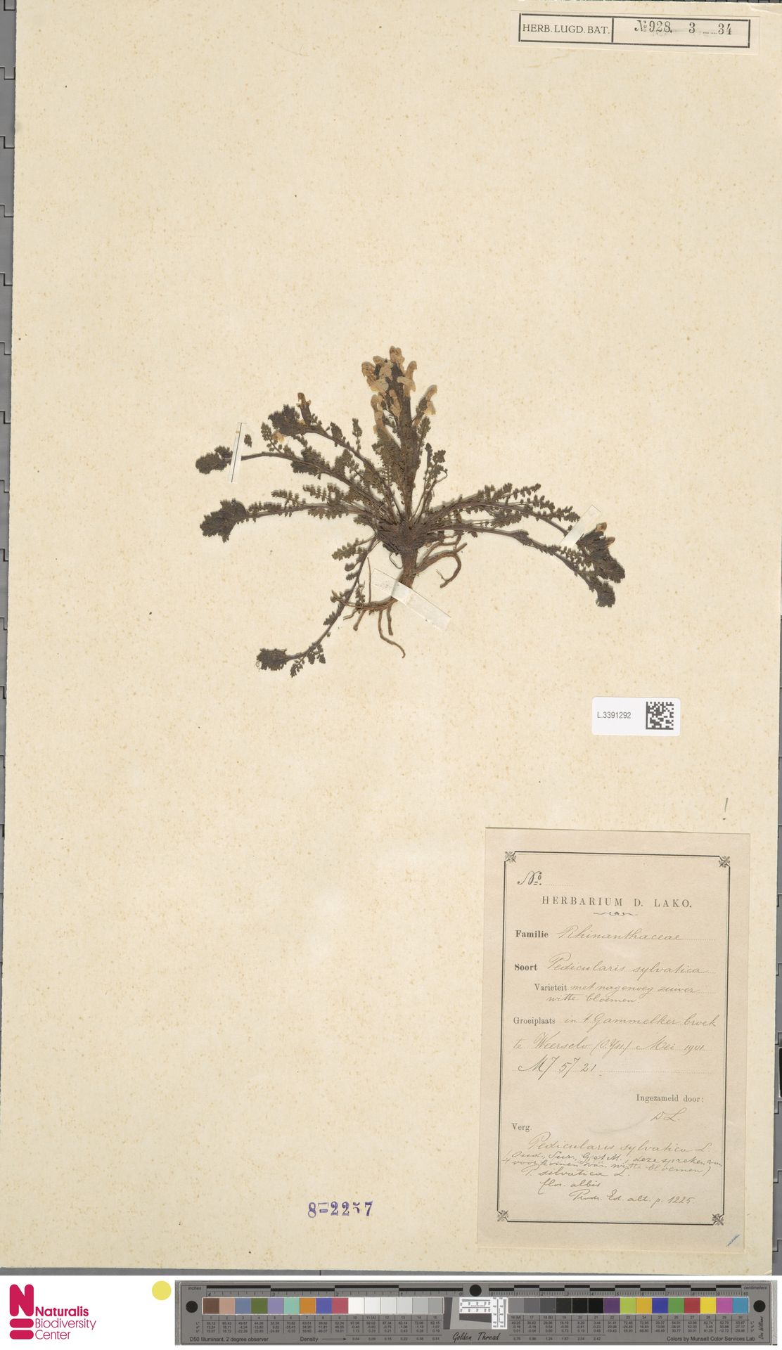 L.3391292 | Pedicularis sylvatica L.