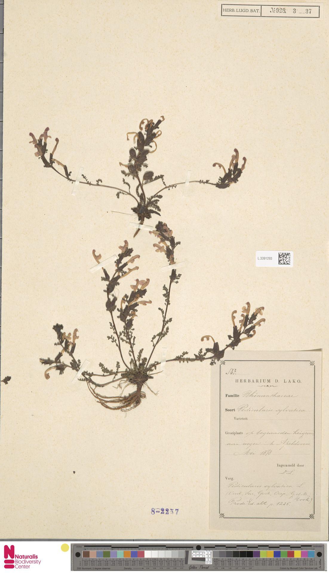 L.3391293   Pedicularis sylvatica L.