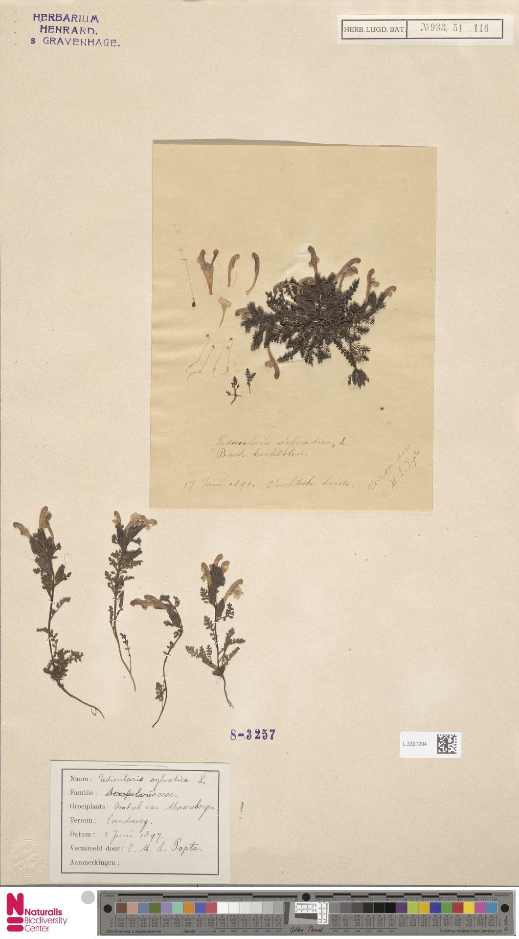 L.3391294 | Pedicularis sylvatica L.