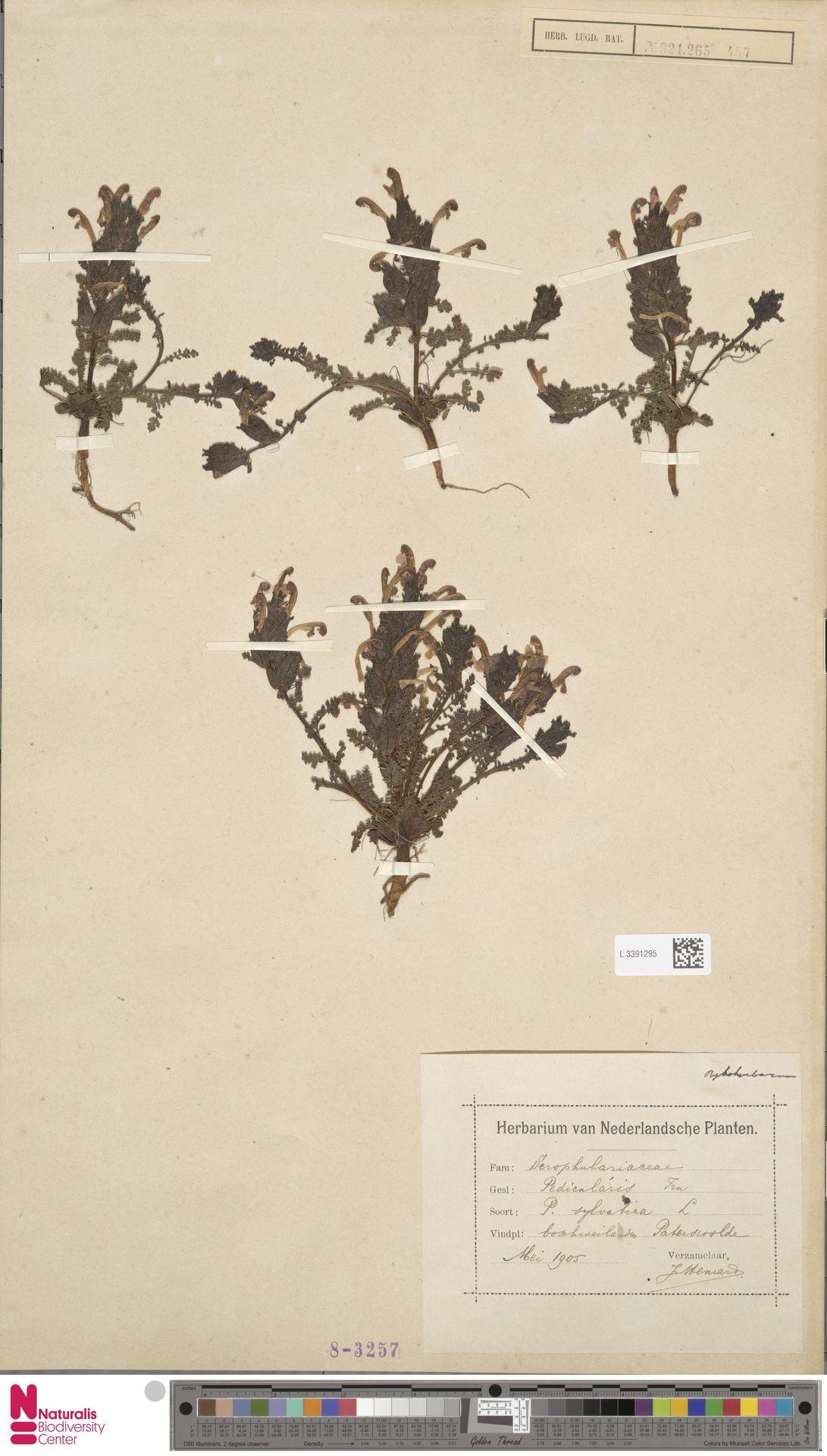 L.3391295 | Pedicularis sylvatica L.
