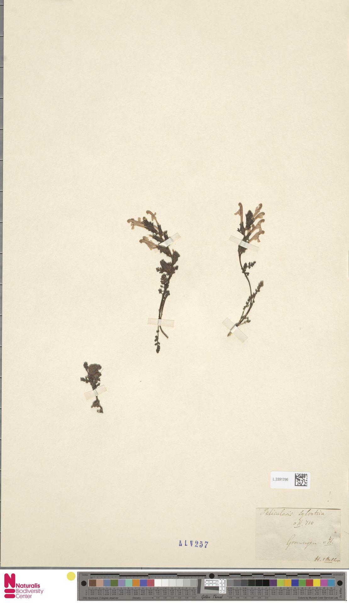 L.3391296 | Pedicularis sylvatica L.