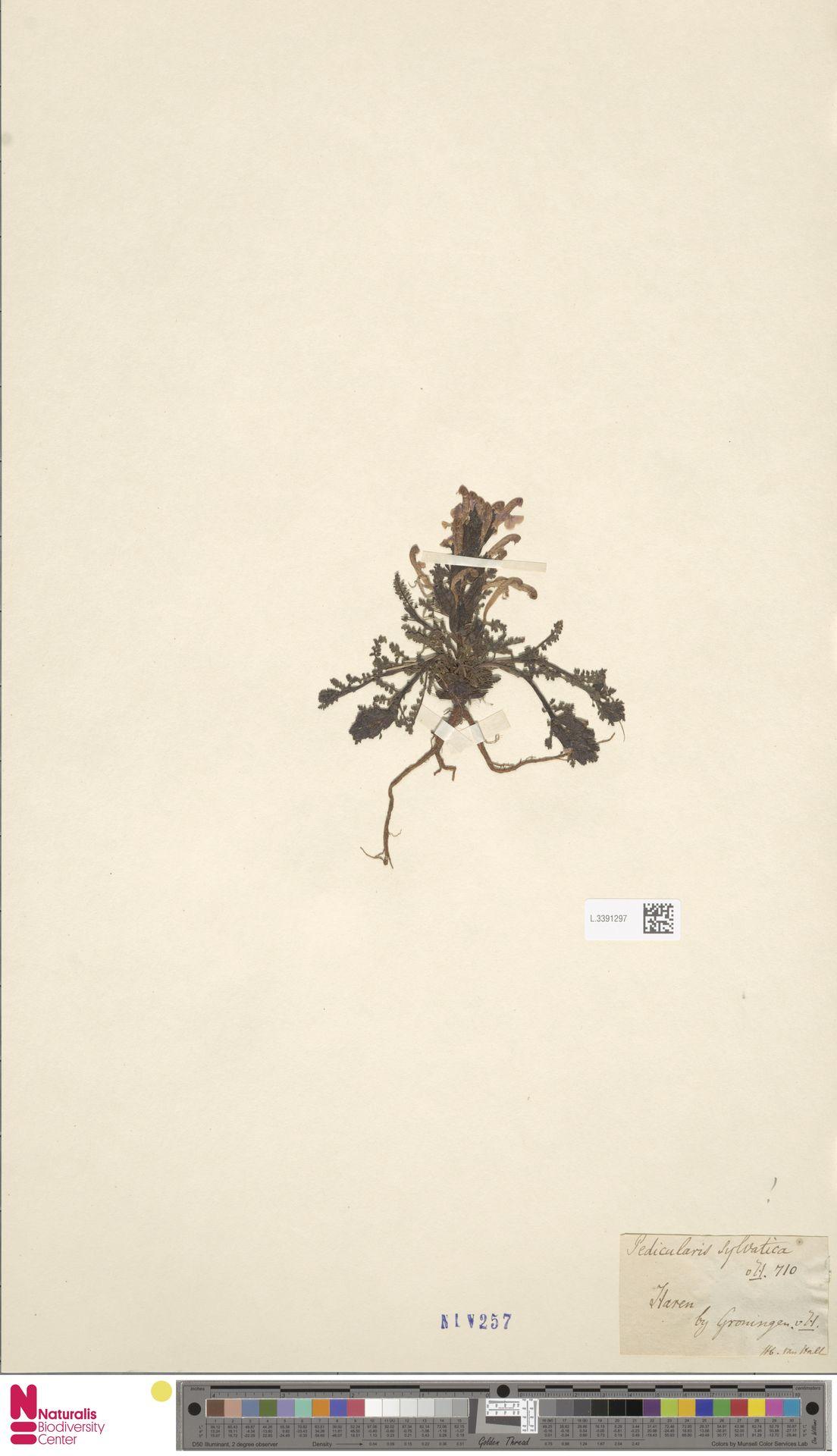 L.3391297 | Pedicularis sylvatica L.