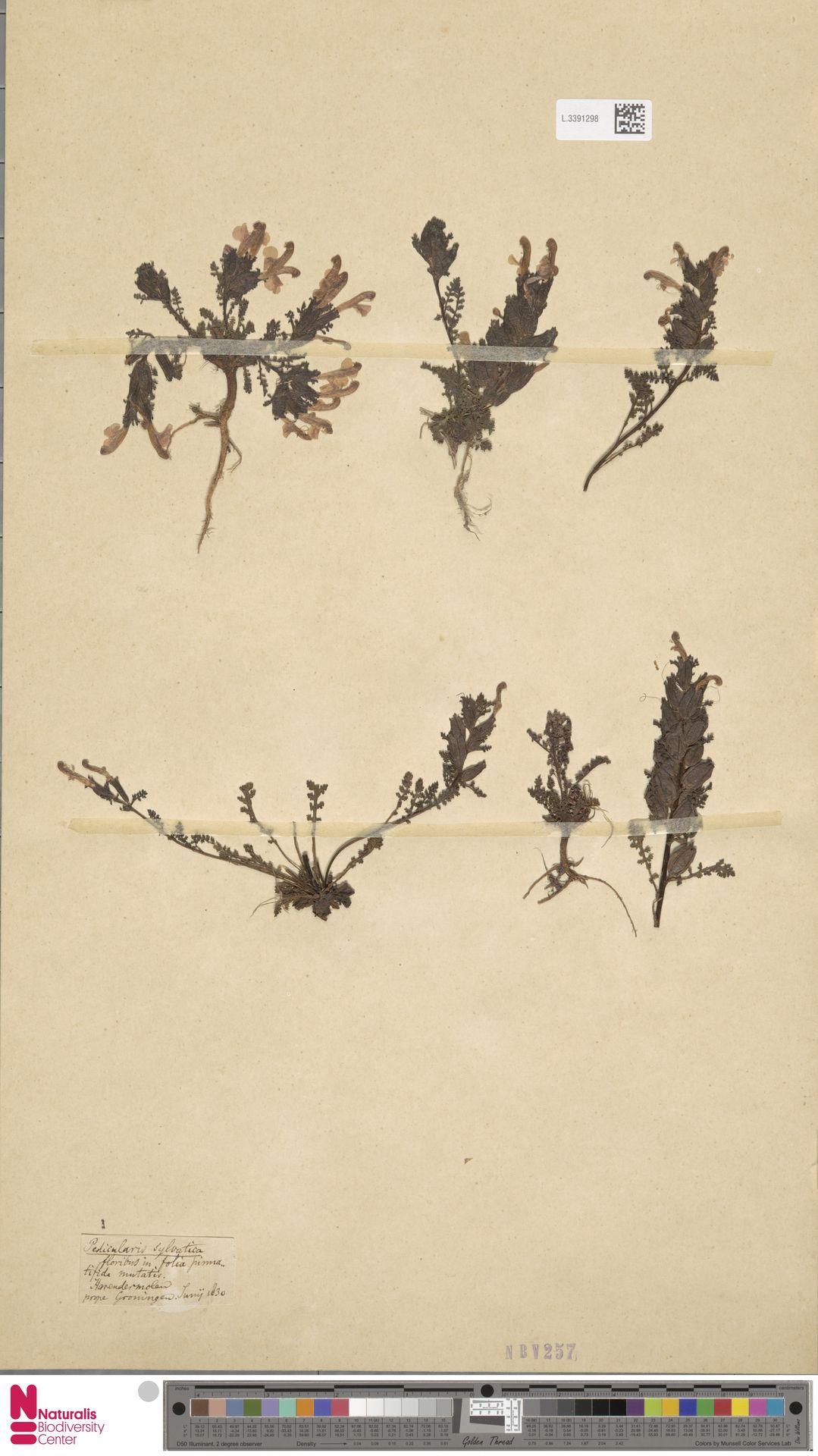 L.3391298 | Pedicularis sylvatica L.