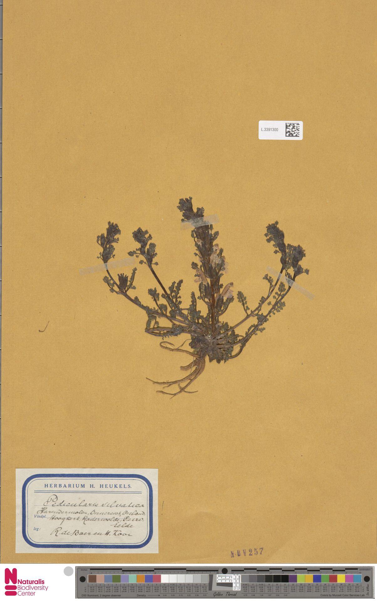 L.3391300 | Pedicularis sylvatica L.