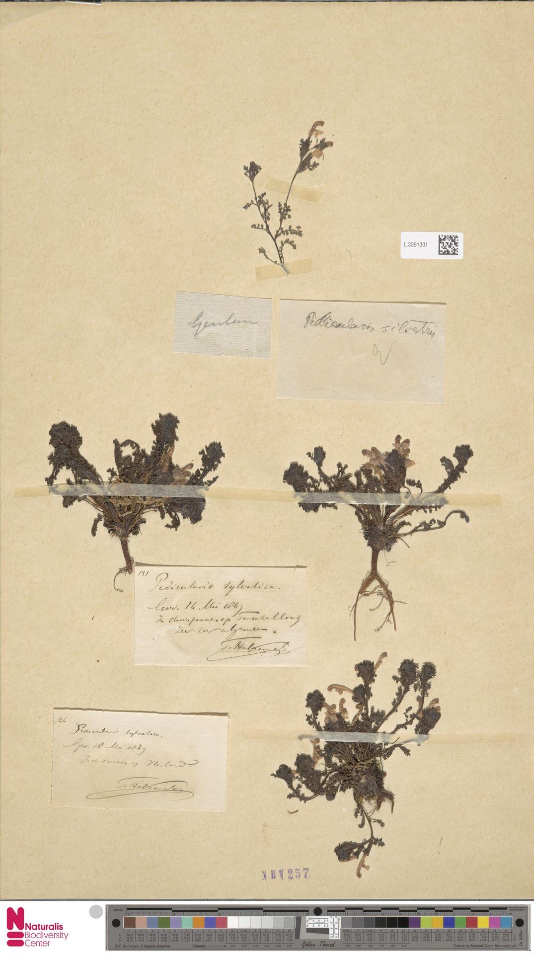 L.3391301 | Pedicularis sylvatica L.