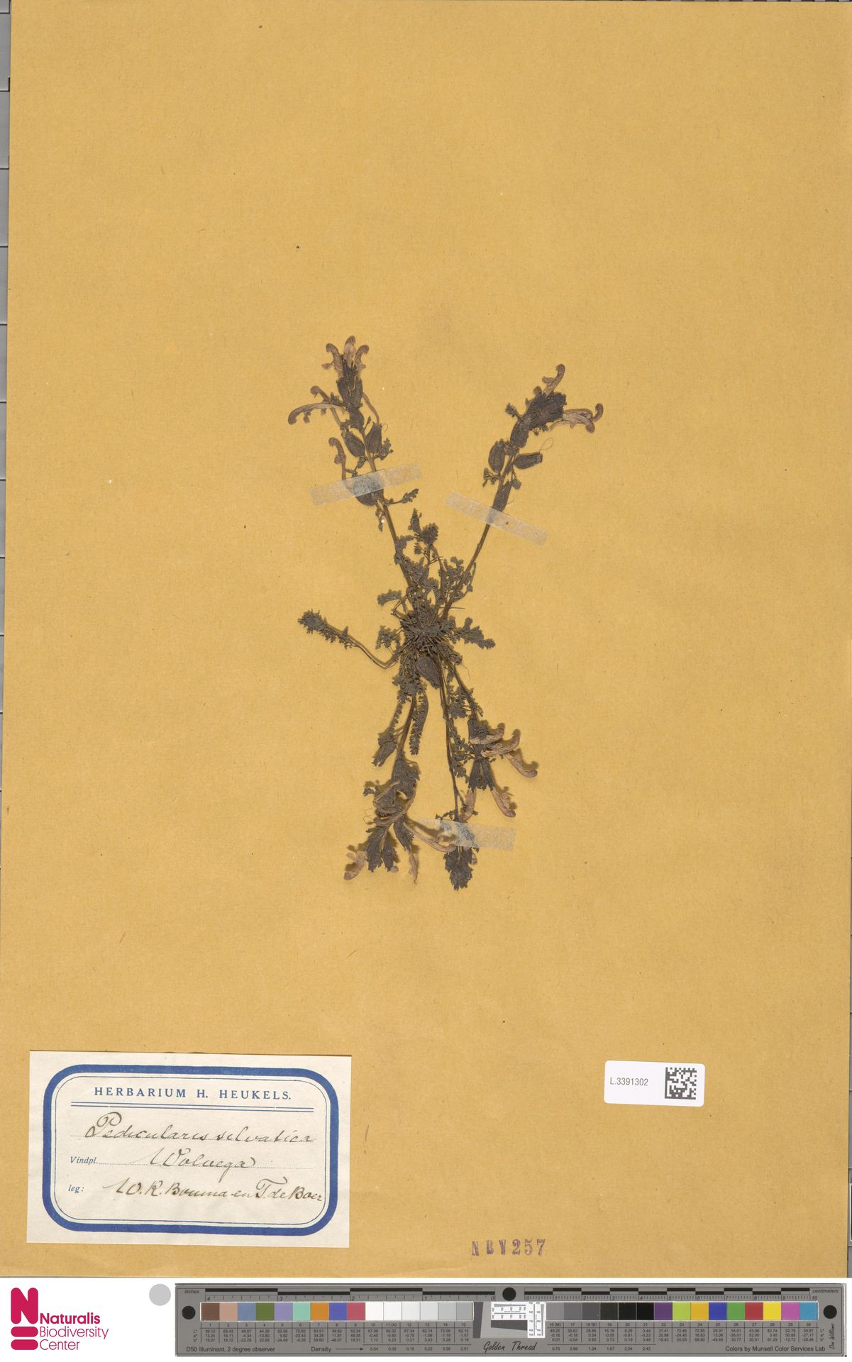 L.3391302 | Pedicularis sylvatica L.