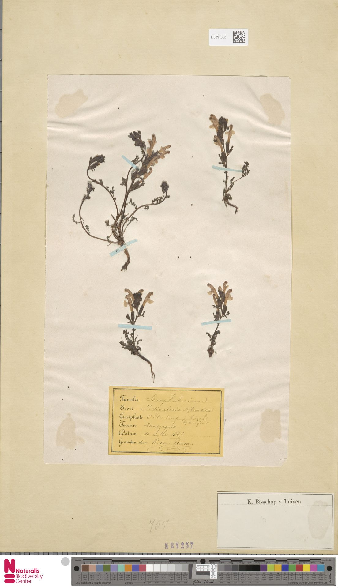 L.3391303   Pedicularis sylvatica L.
