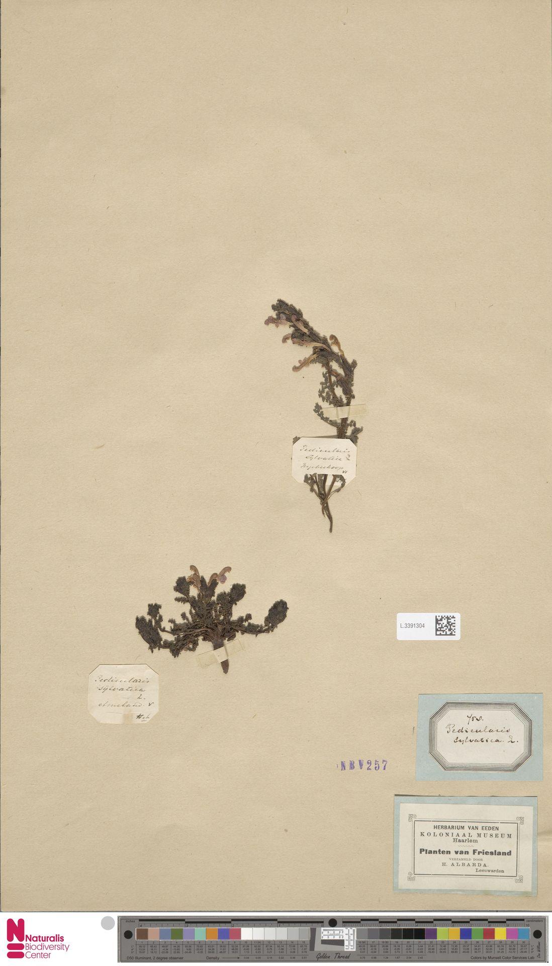 L.3391304 | Pedicularis sylvatica L.