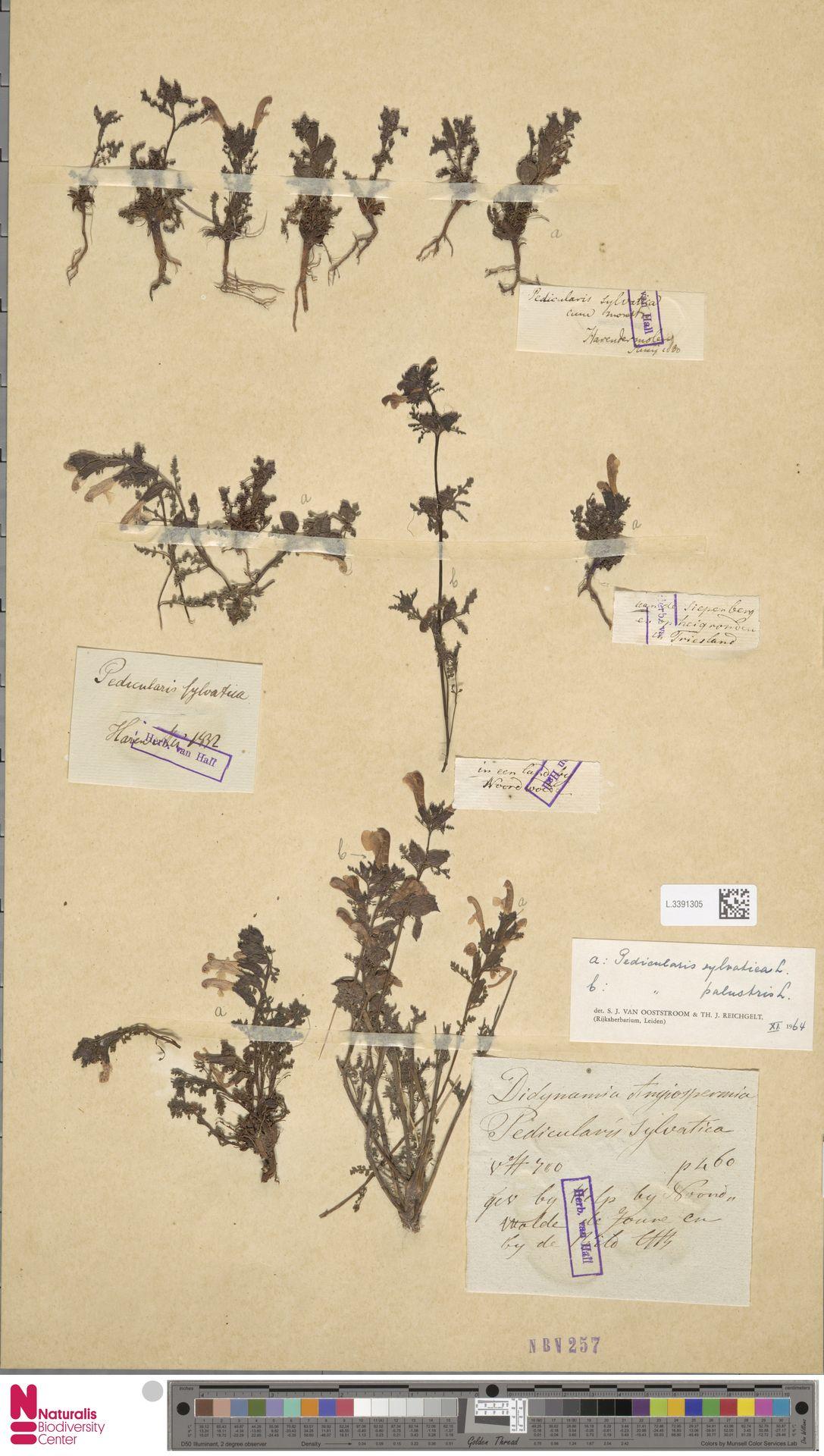 L.3391305 | Pedicularis sylvatica L.