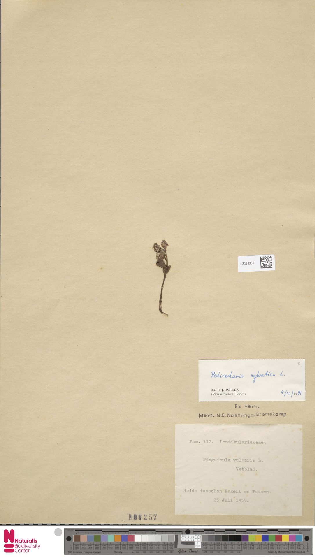 L.3391307 | Pedicularis sylvatica L.