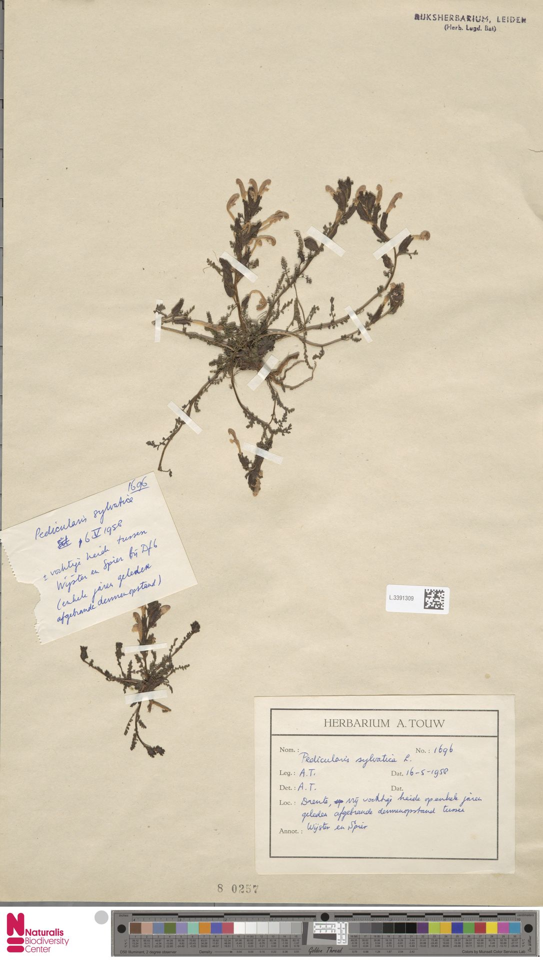 L.3391309 | Pedicularis sylvatica L.