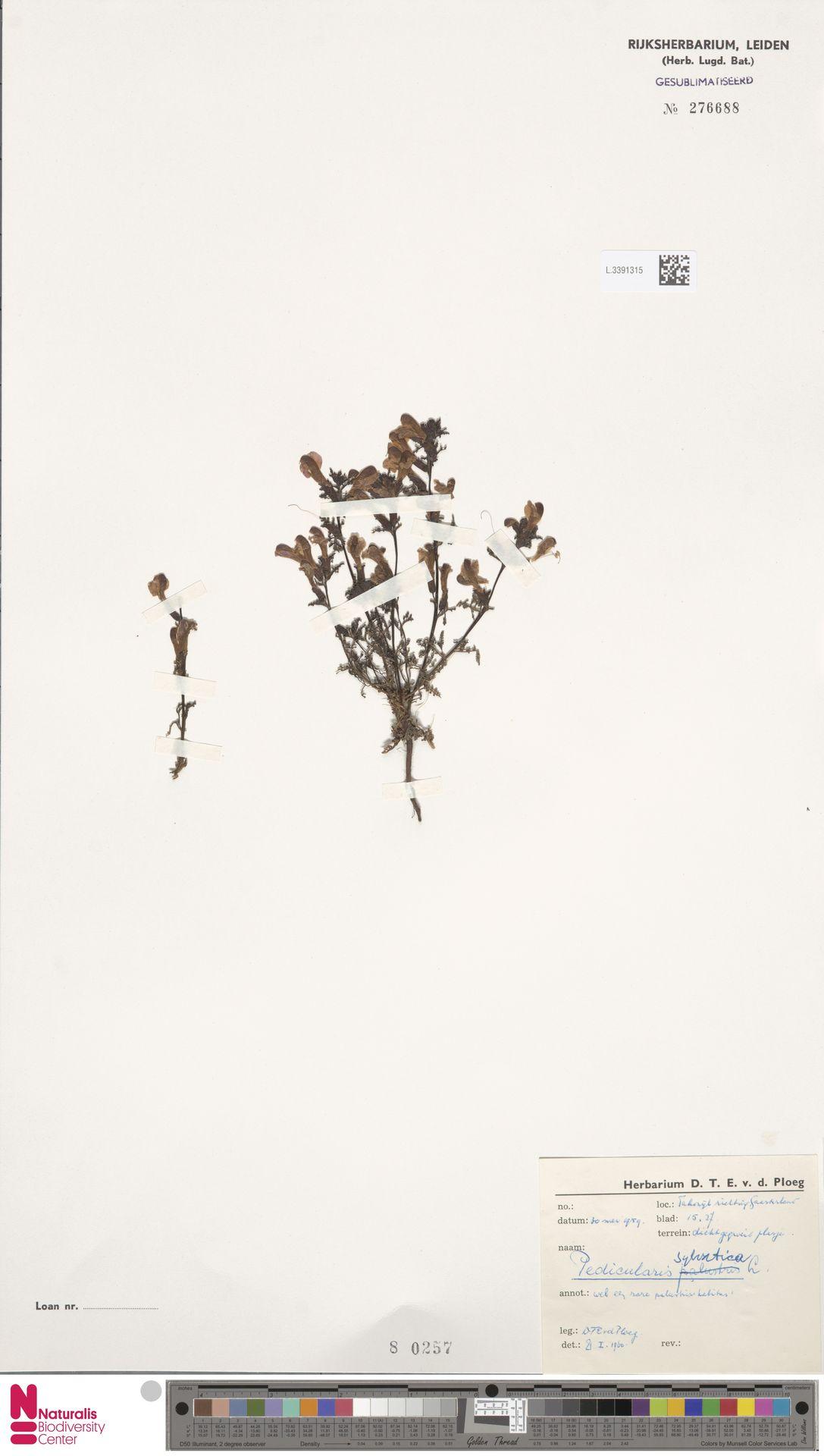 L.3391315 | Pedicularis sylvatica L.