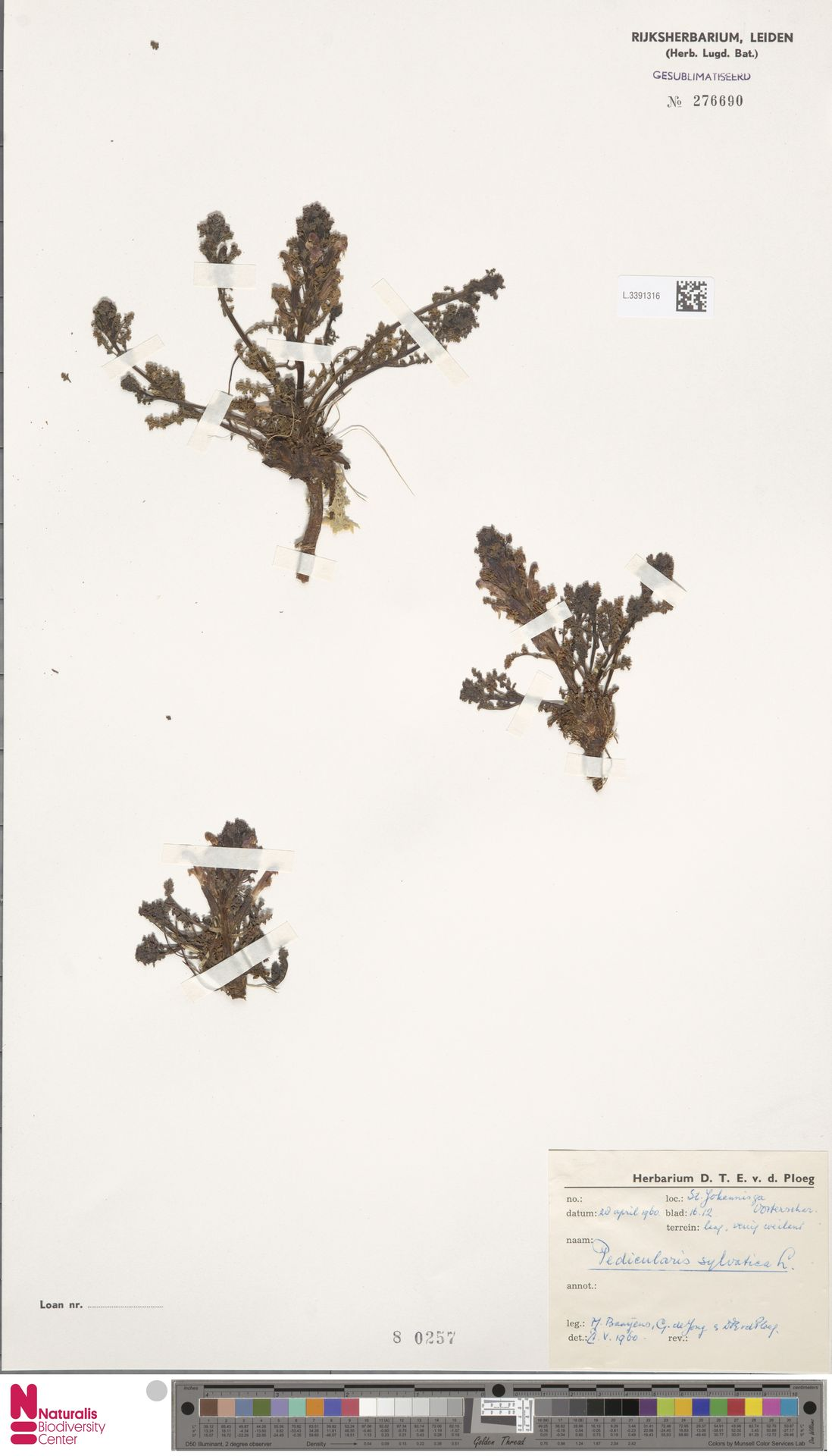 L.3391316 | Pedicularis sylvatica L.