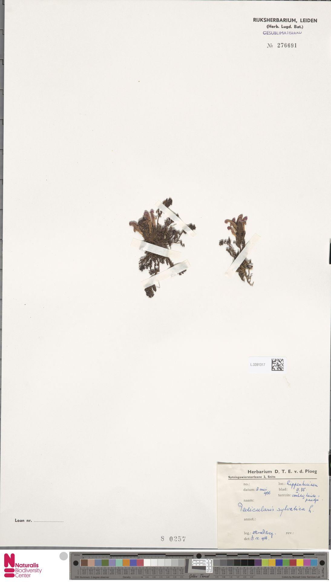 L.3391317 | Pedicularis sylvatica L.