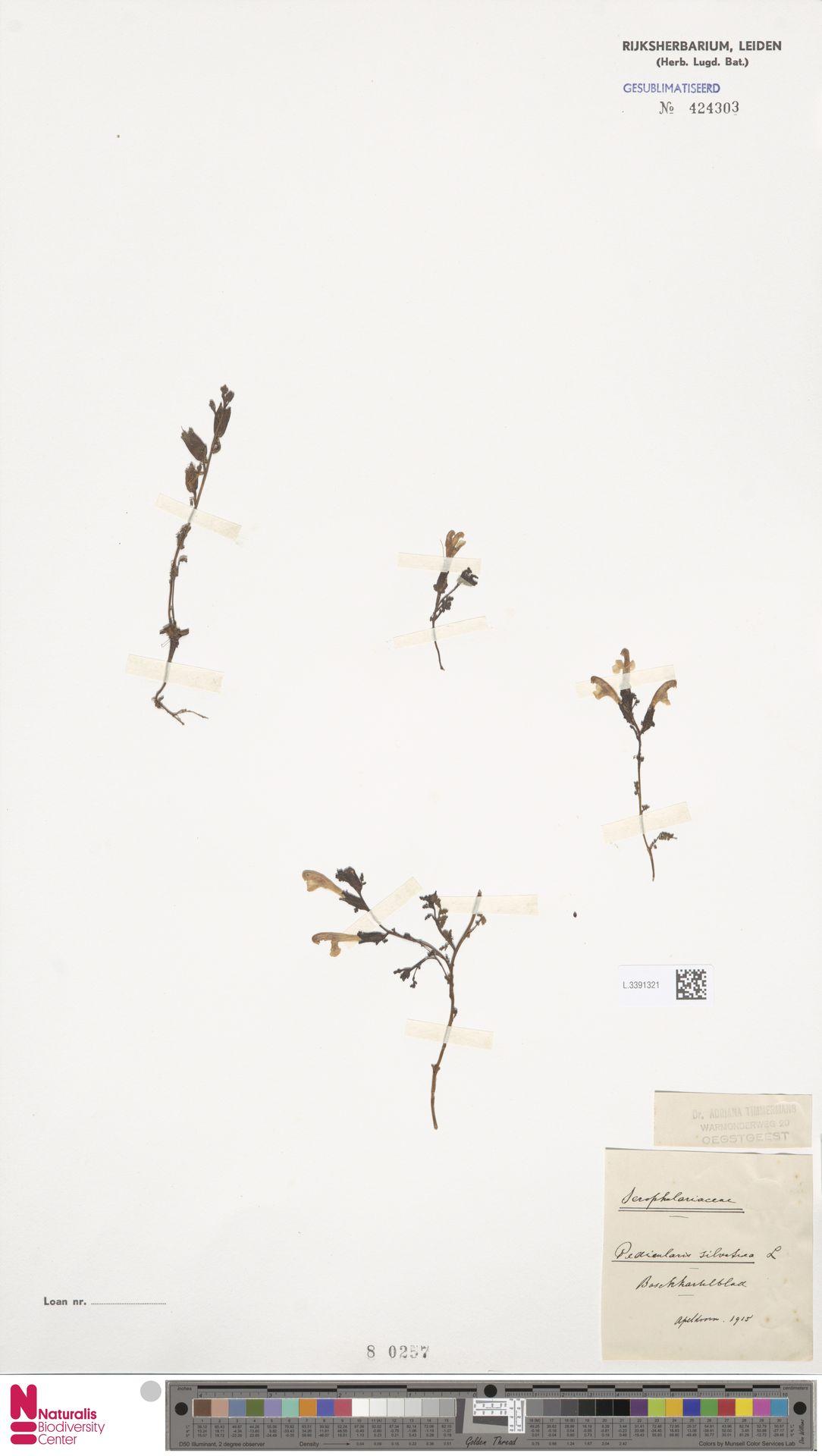 L.3391321 | Pedicularis sylvatica L.