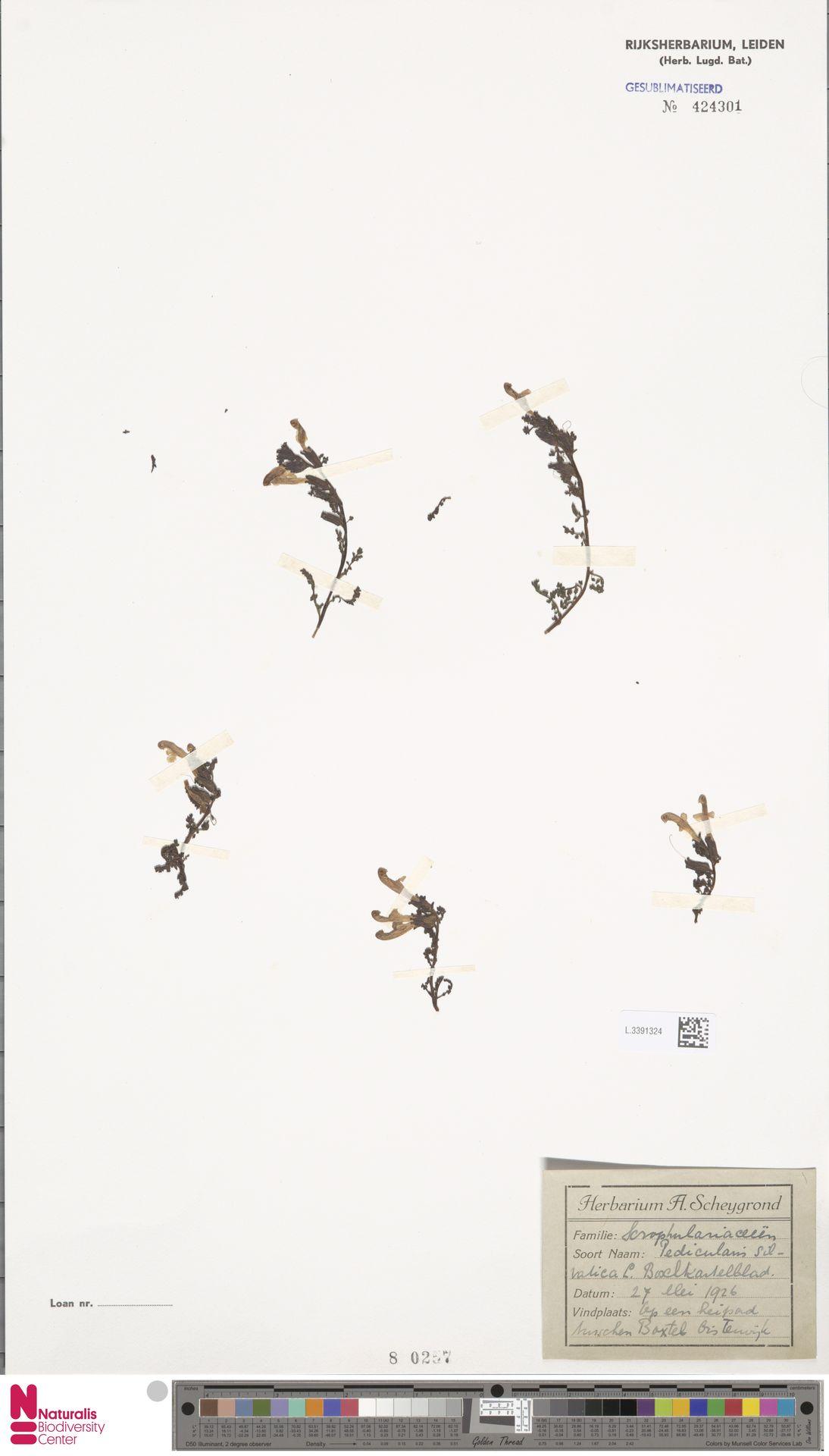 L.3391324   Pedicularis sylvatica L.