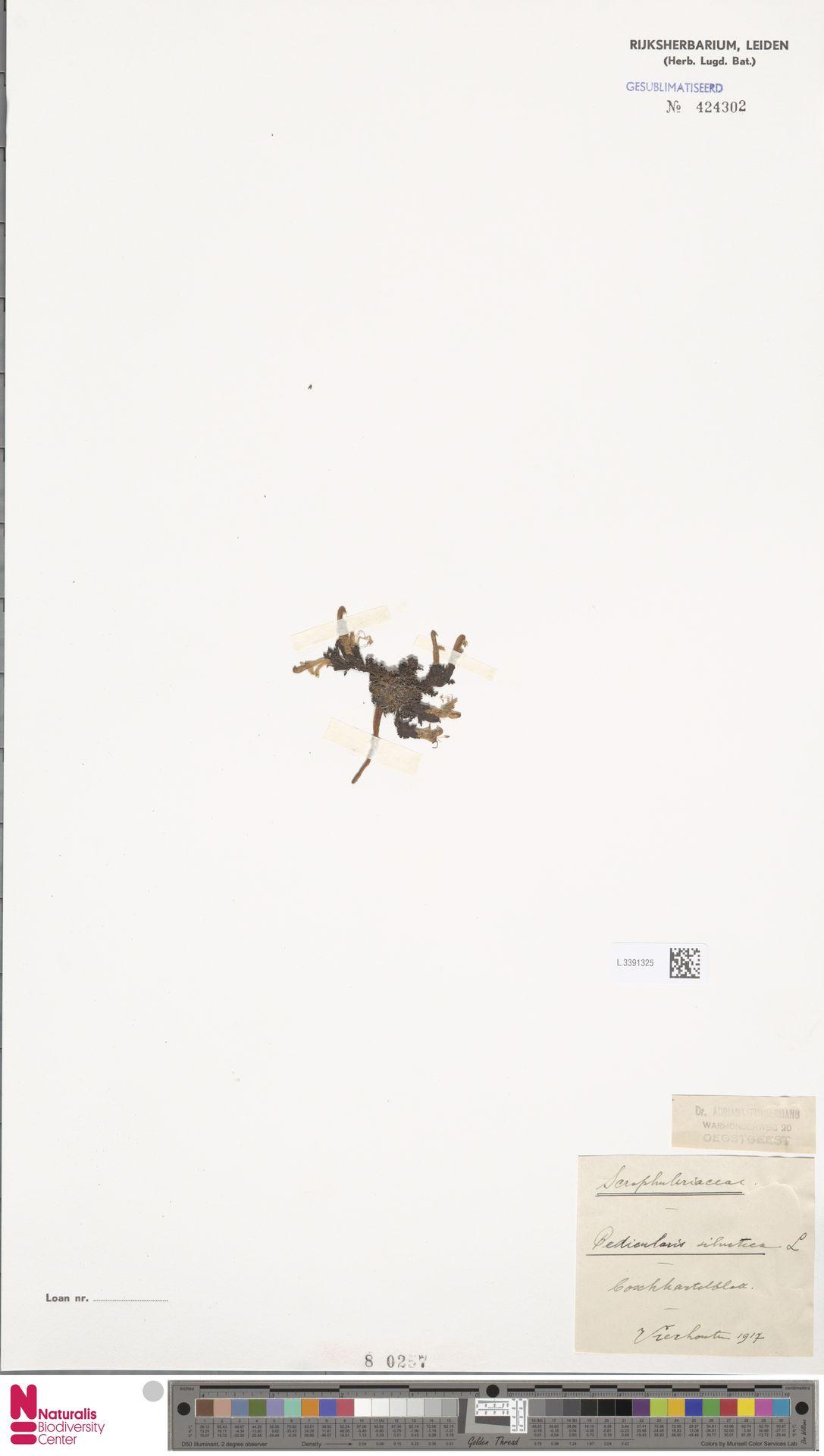 L.3391325 | Pedicularis sylvatica L.