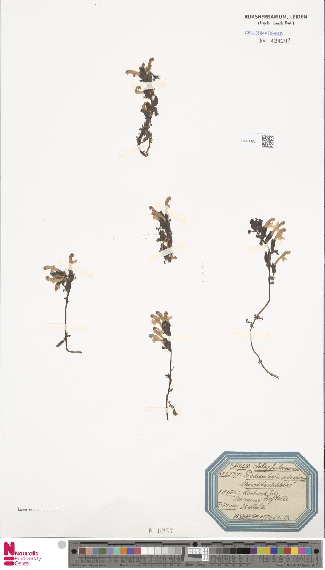 L.3391326   Pedicularis sylvatica L.
