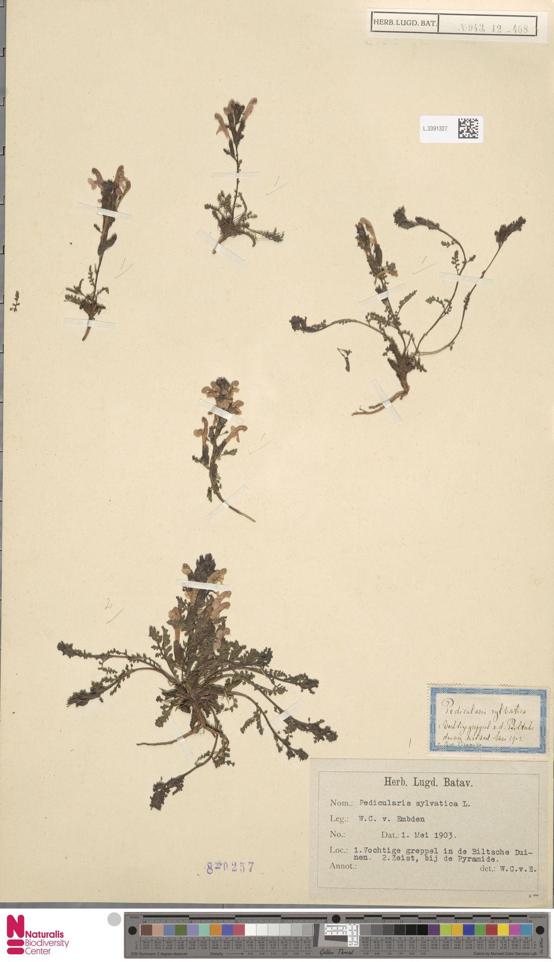 L.3391327 | Pedicularis sylvatica L.