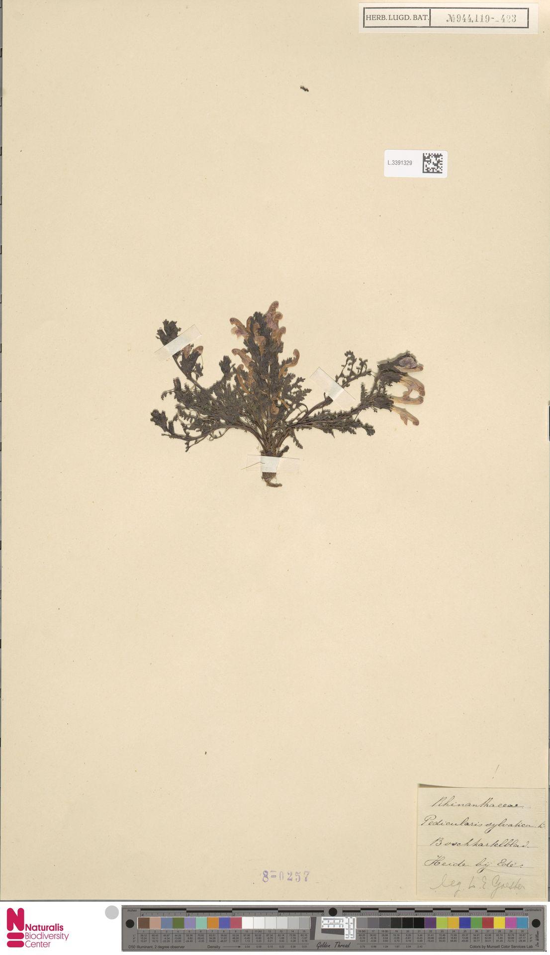 L.3391329 | Pedicularis sylvatica L.