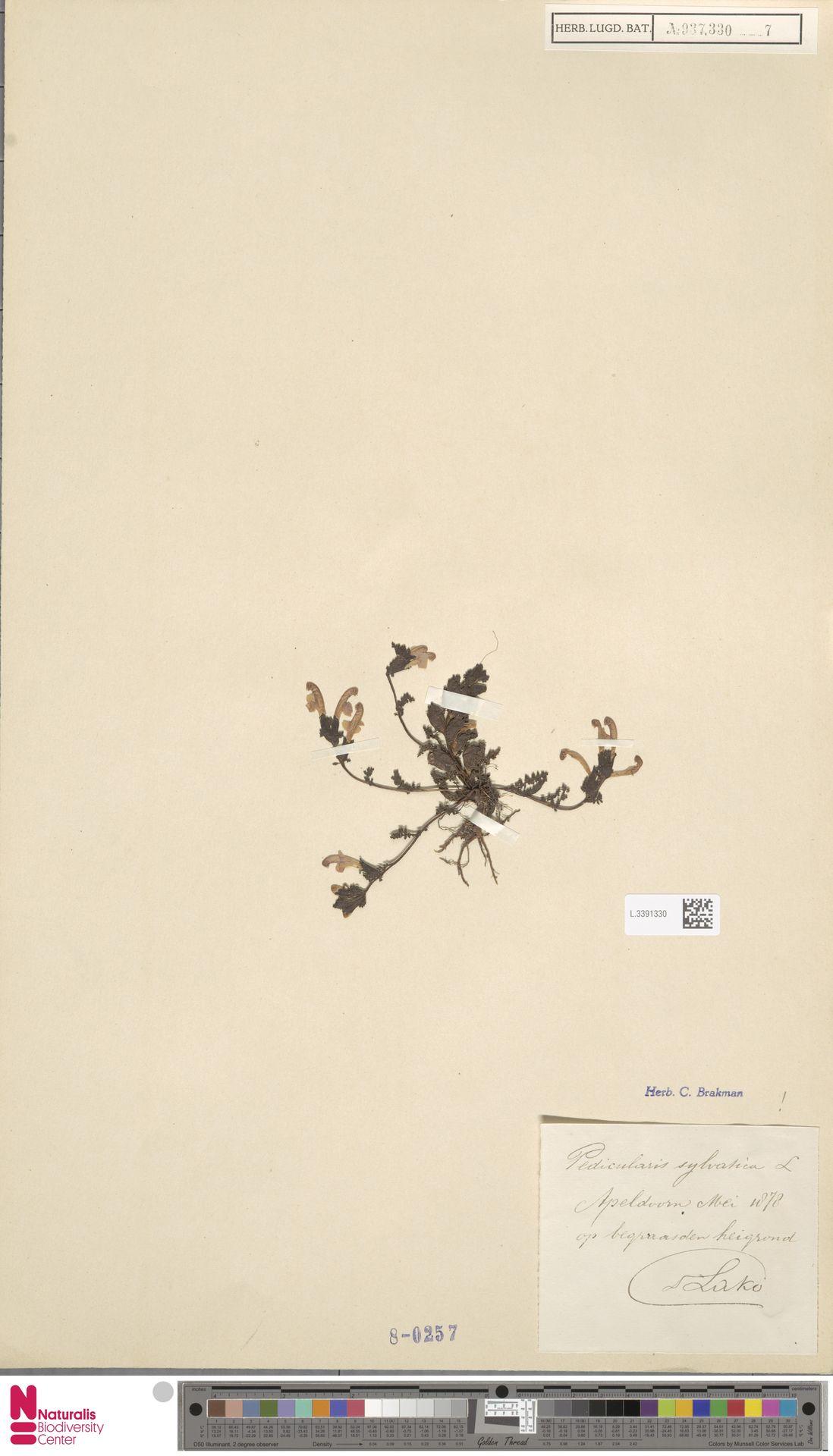 L.3391330 | Pedicularis sylvatica L.