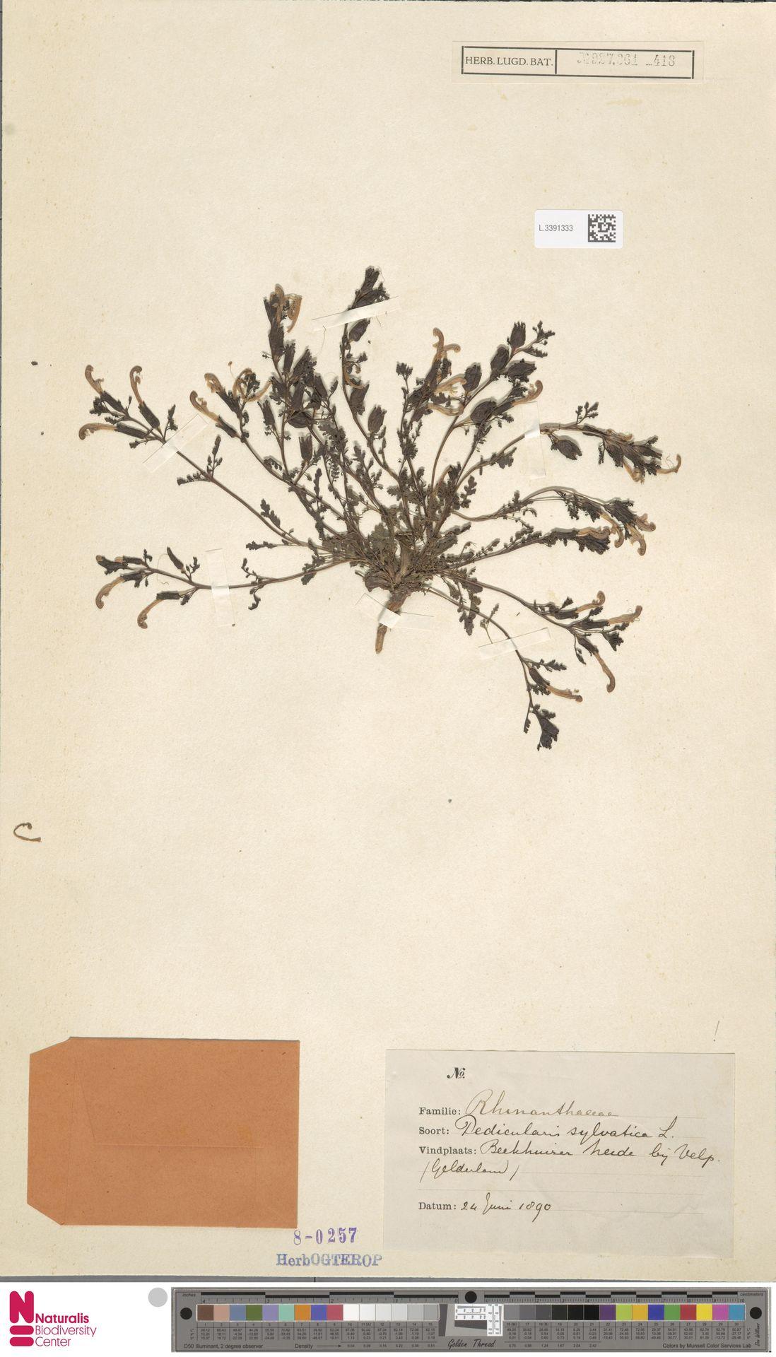 L.3391333 | Pedicularis sylvatica L.