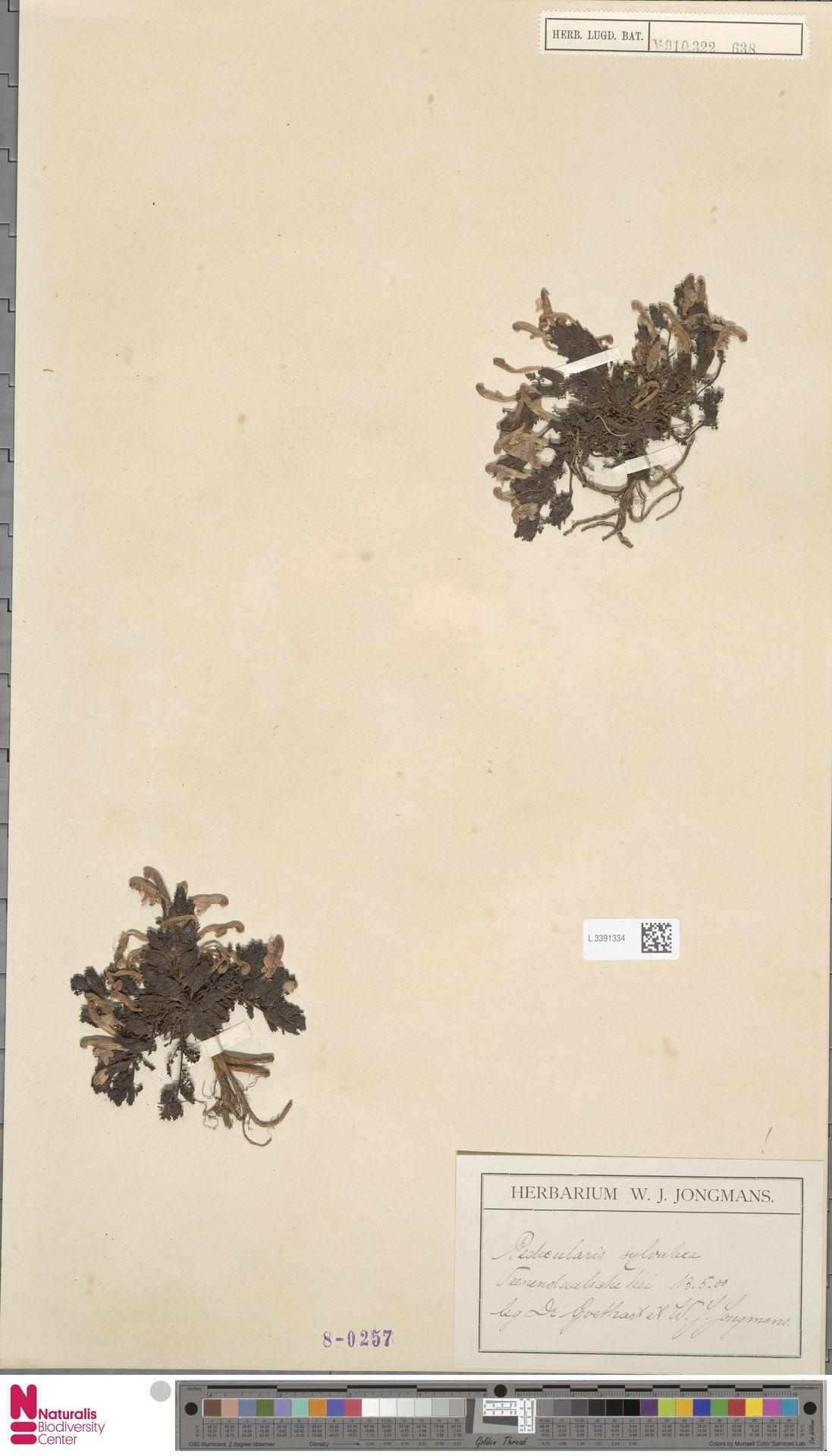 L.3391334   Pedicularis sylvatica L.